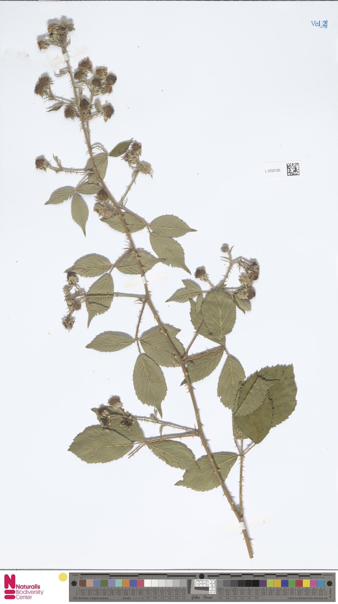 L.4250185 | Rubus calothyrsus A.Beek
