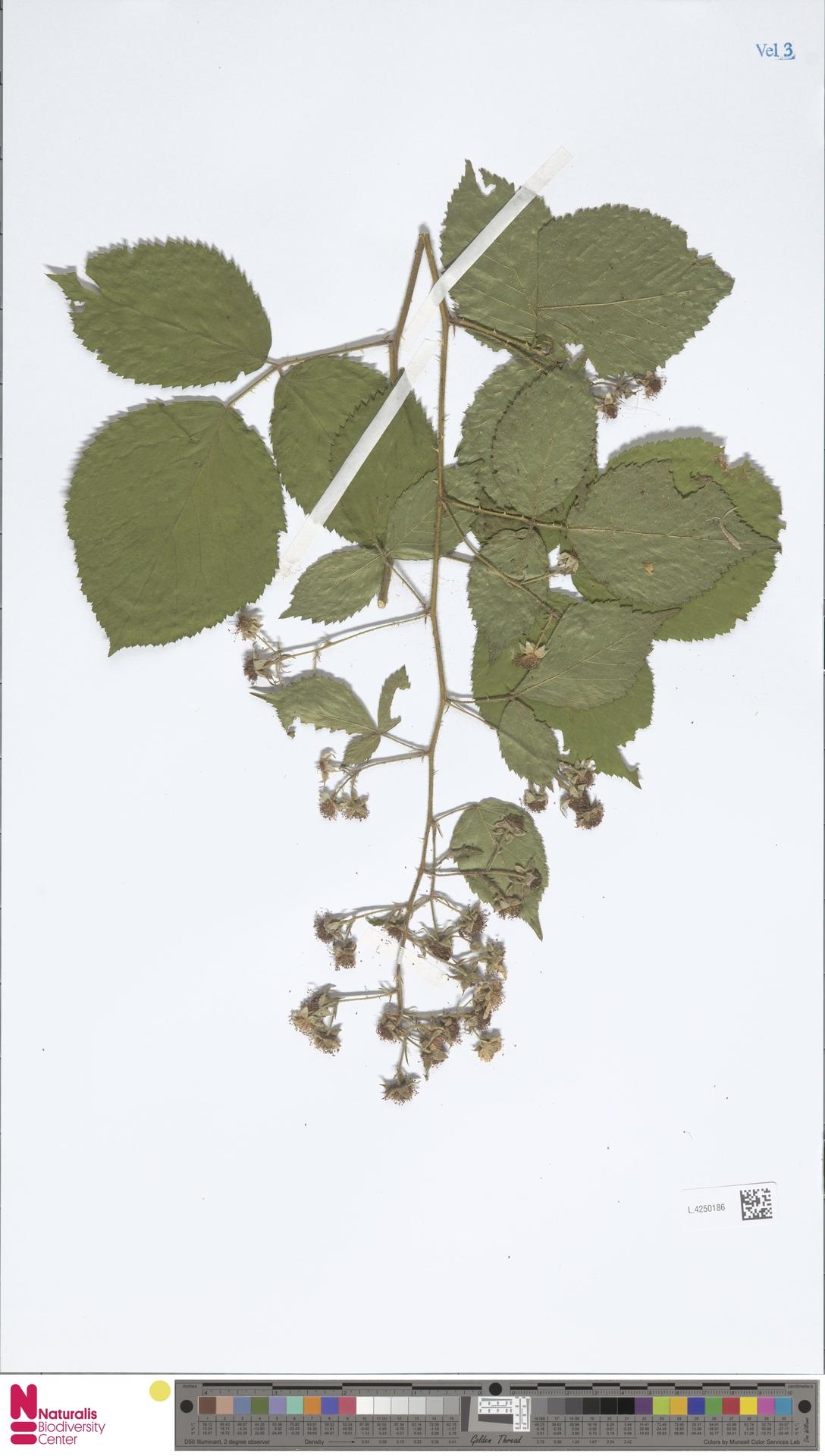 L.4250186 | Rubus calothyrsus A.Beek
