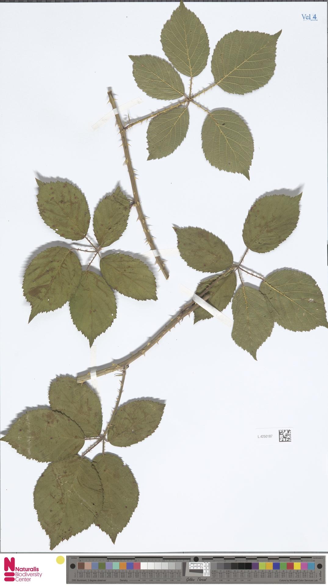 L.4250187 | Rubus calothyrsus A.Beek
