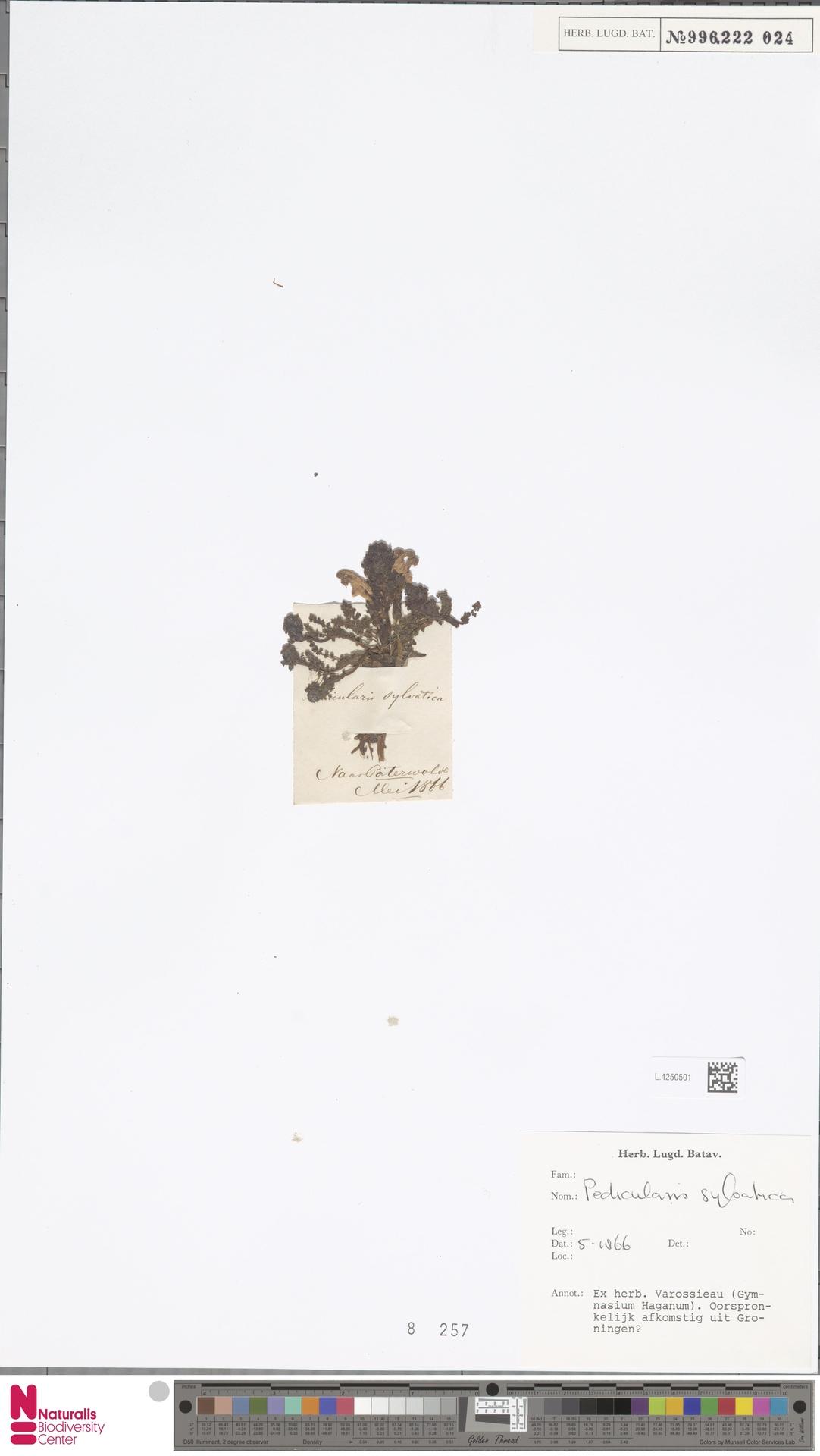L.4250501   Pedicularis sylvatica L.