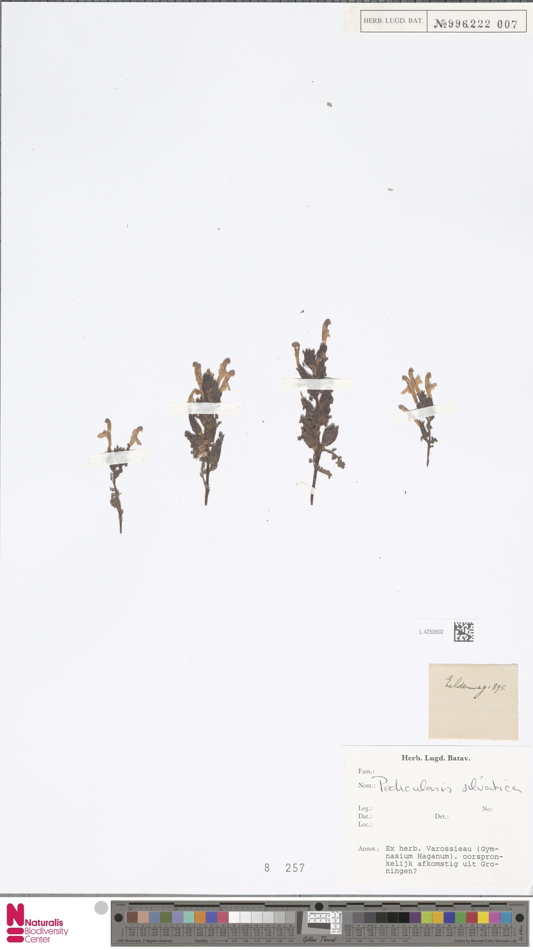 L.4250502 | Pedicularis sylvatica L.