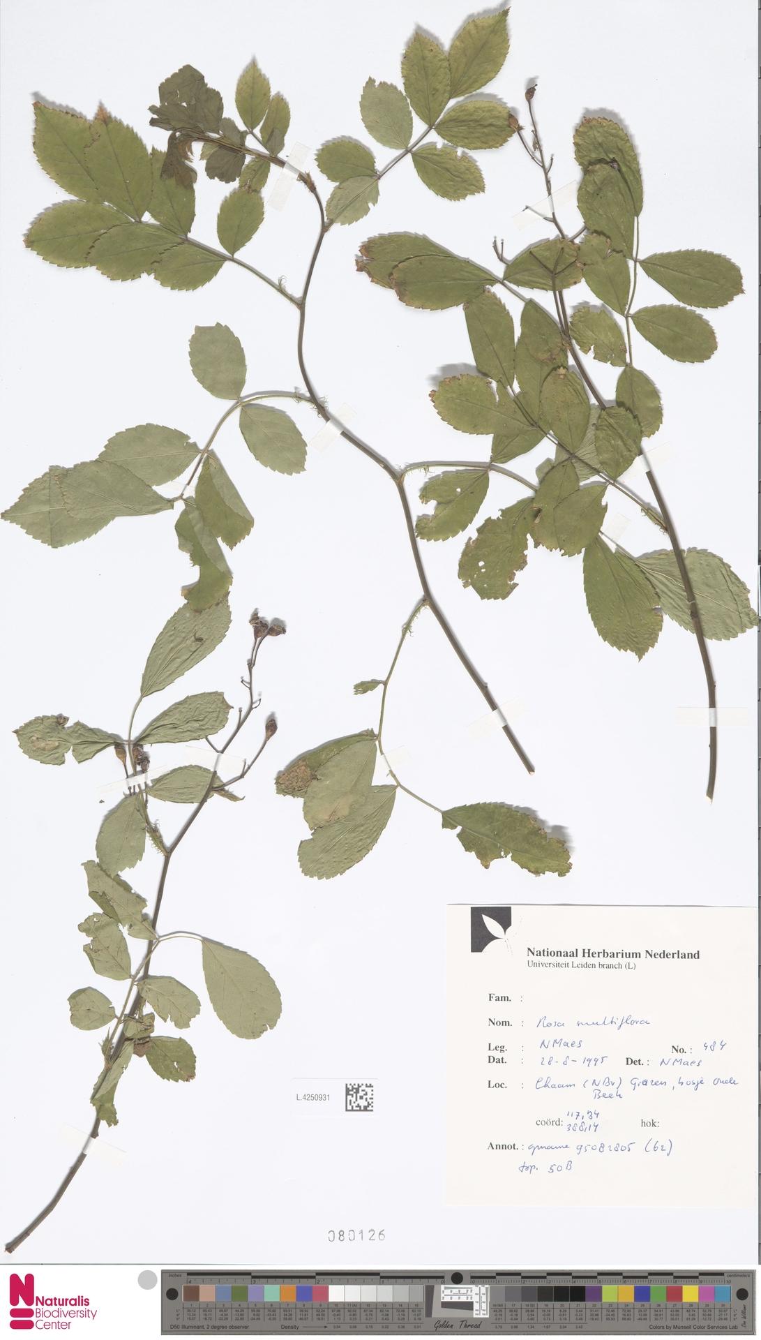 L.4250931 | Rosa multiflora Thunb.