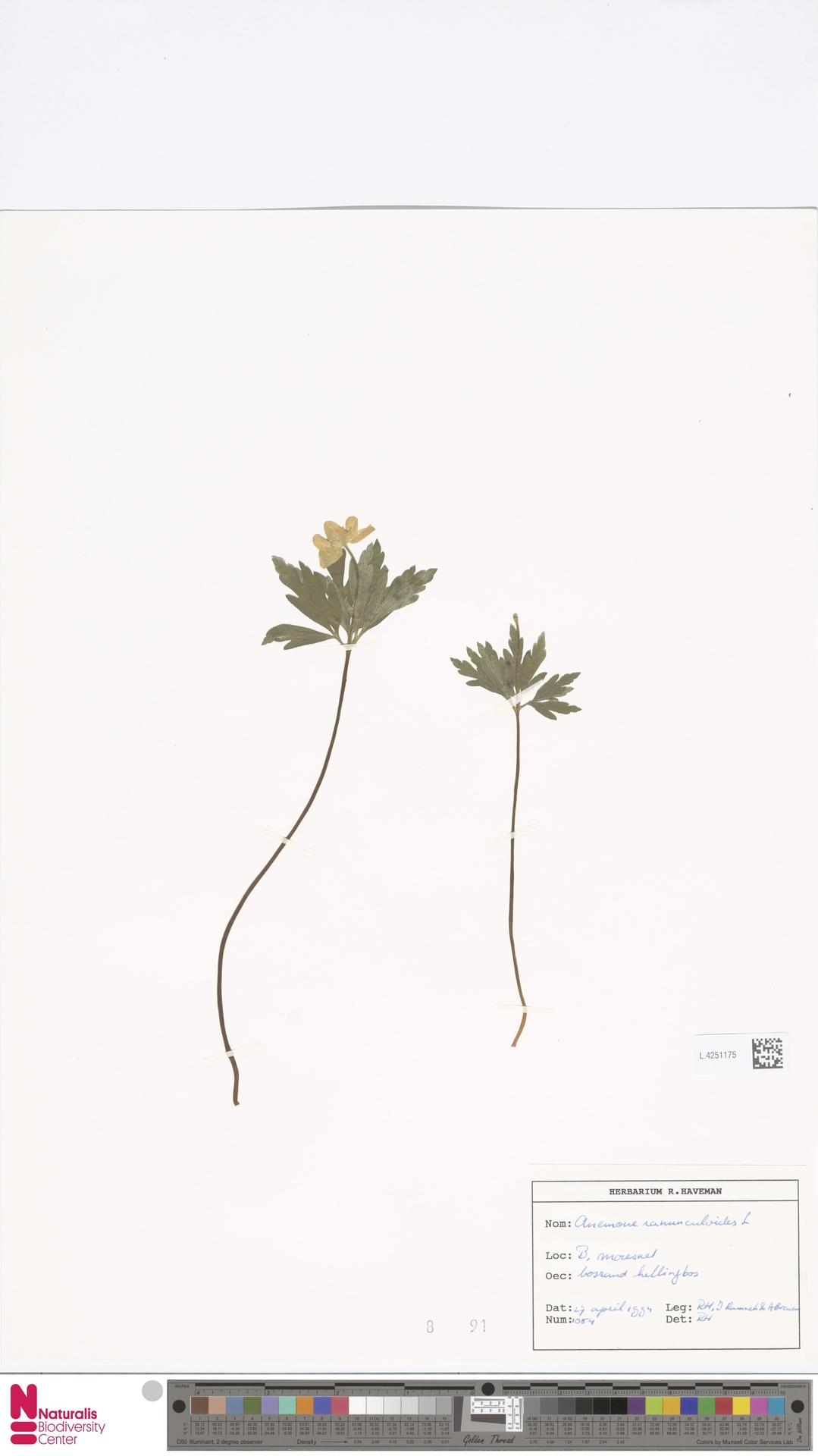L.4251175 | Anemone ranunculoides L.