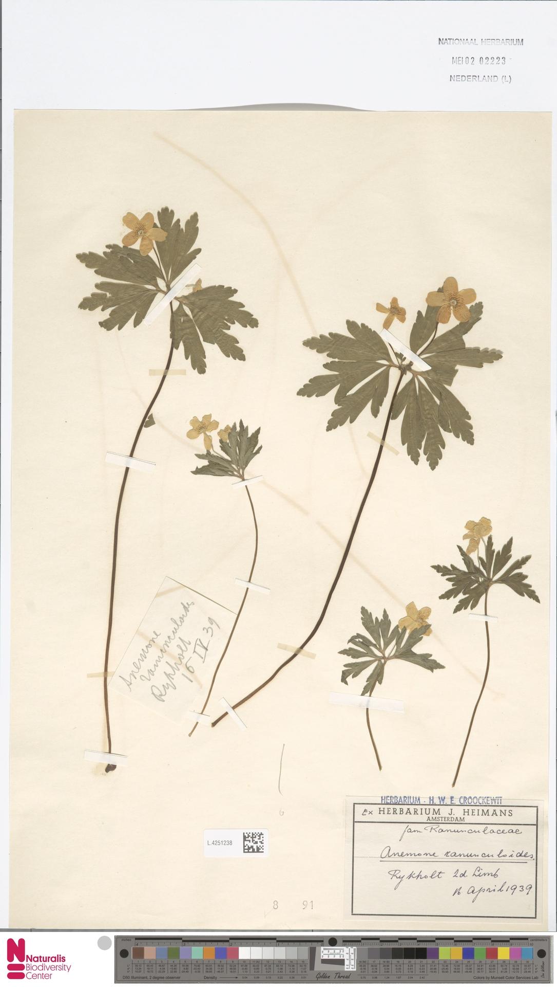 L.4251238 | Anemone ranunculoides L.