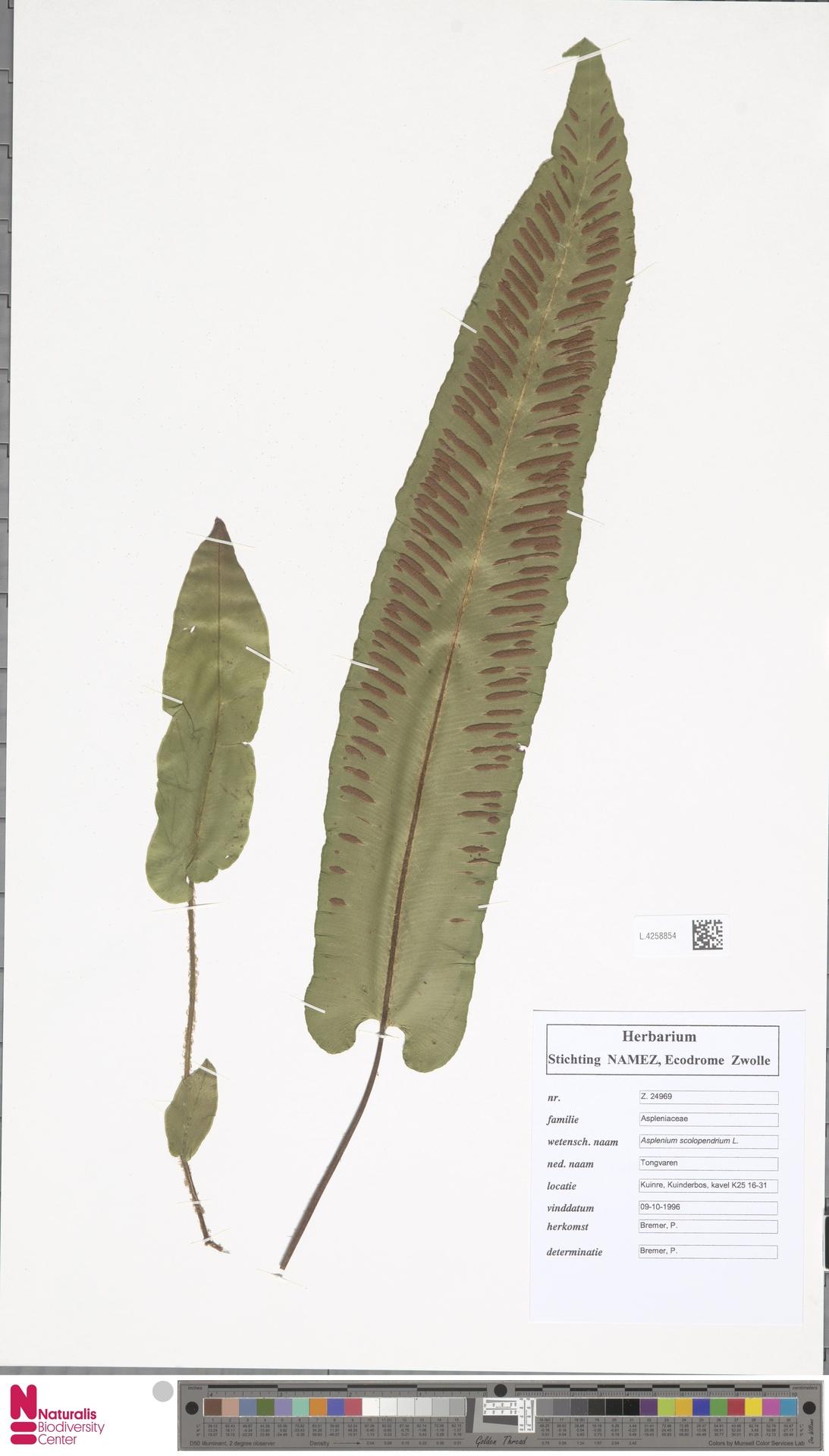 L.4258854 | Asplenium scolopendrium L.