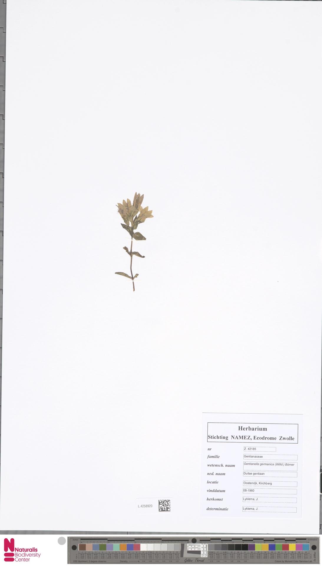L.4258920 | Gentianella germanica (Willd.) E.F.Warb.