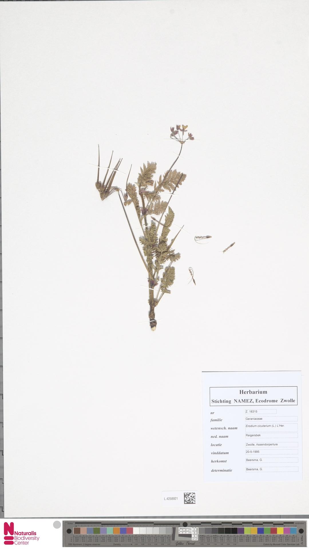 L.4258921 | Erodium cicutarium (L.) L'Hér.
