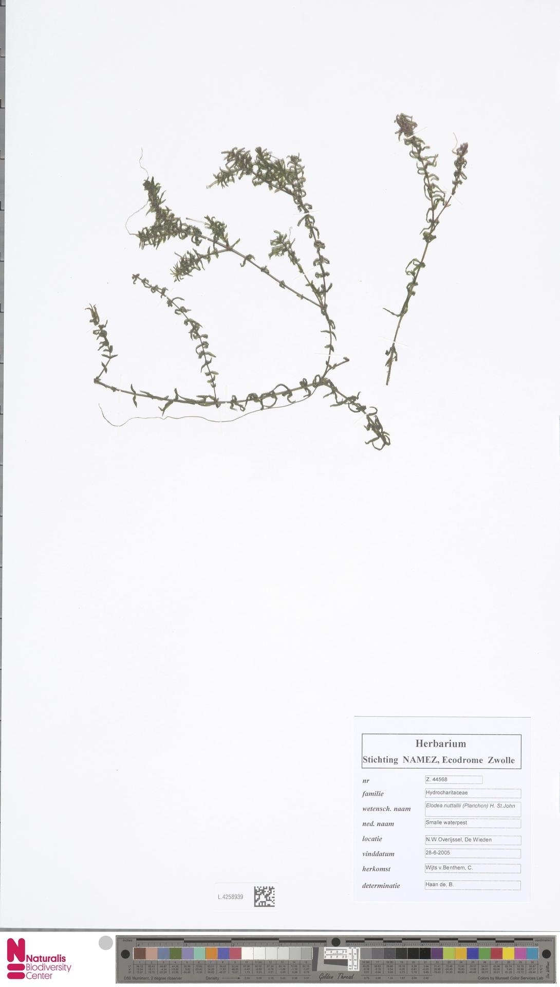 L.4258939 | Elodea nuttallii (Planch.) H.St.John