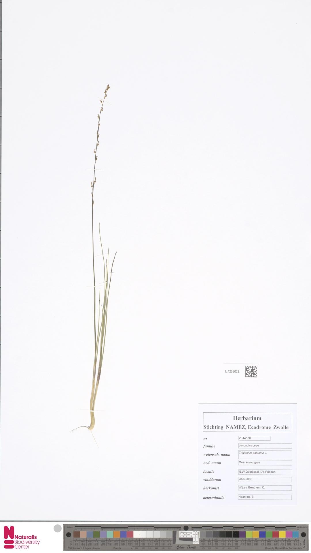 L.4259023 | Triglochin palustris L.