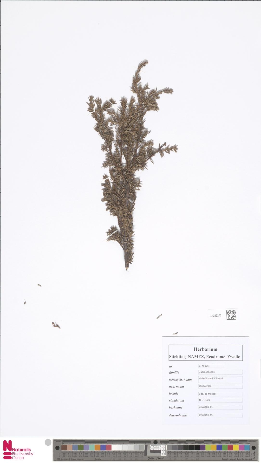 L.4259275 | Juniperus communis L.