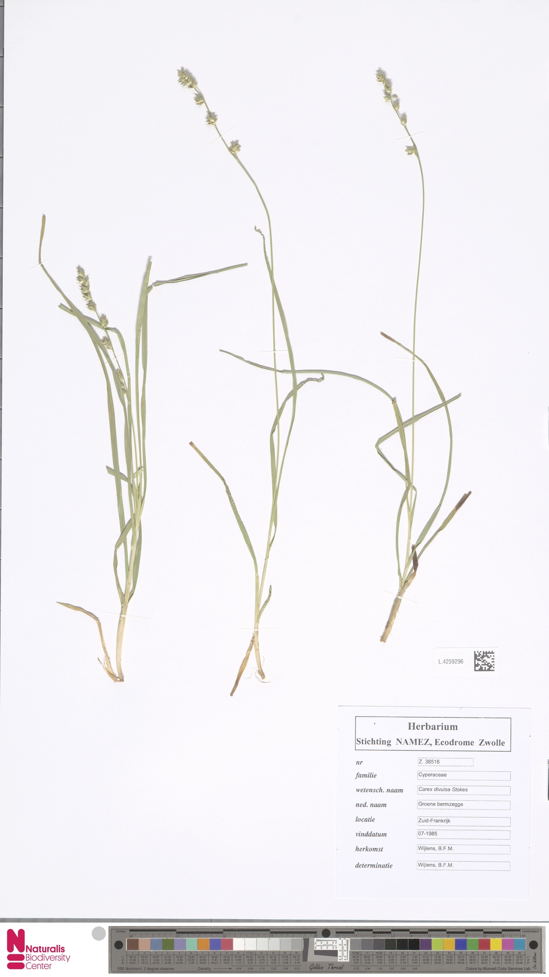 L.4259296 | Carex divulsa Stokes