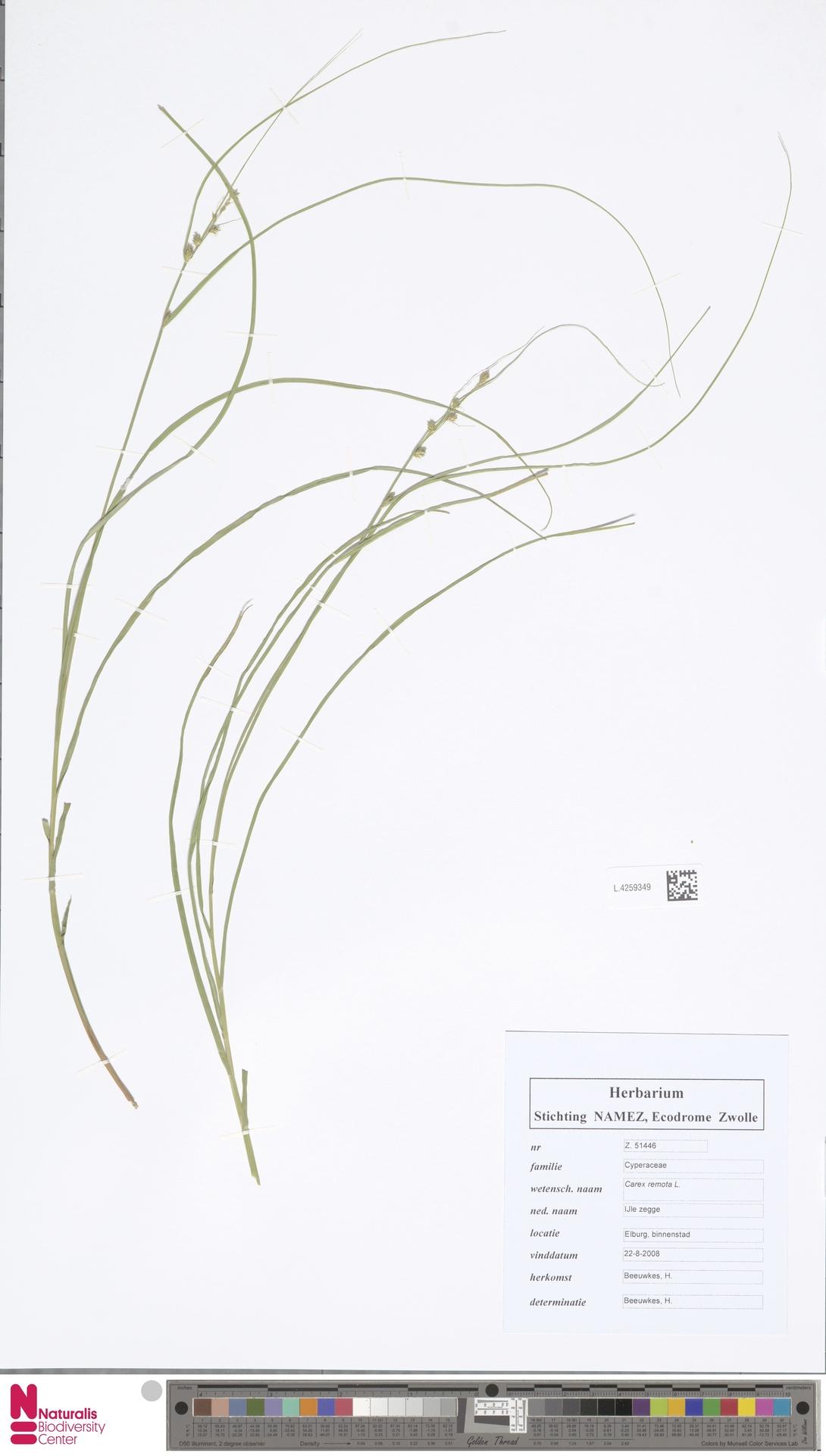 L.4259349 | Carex remota L.