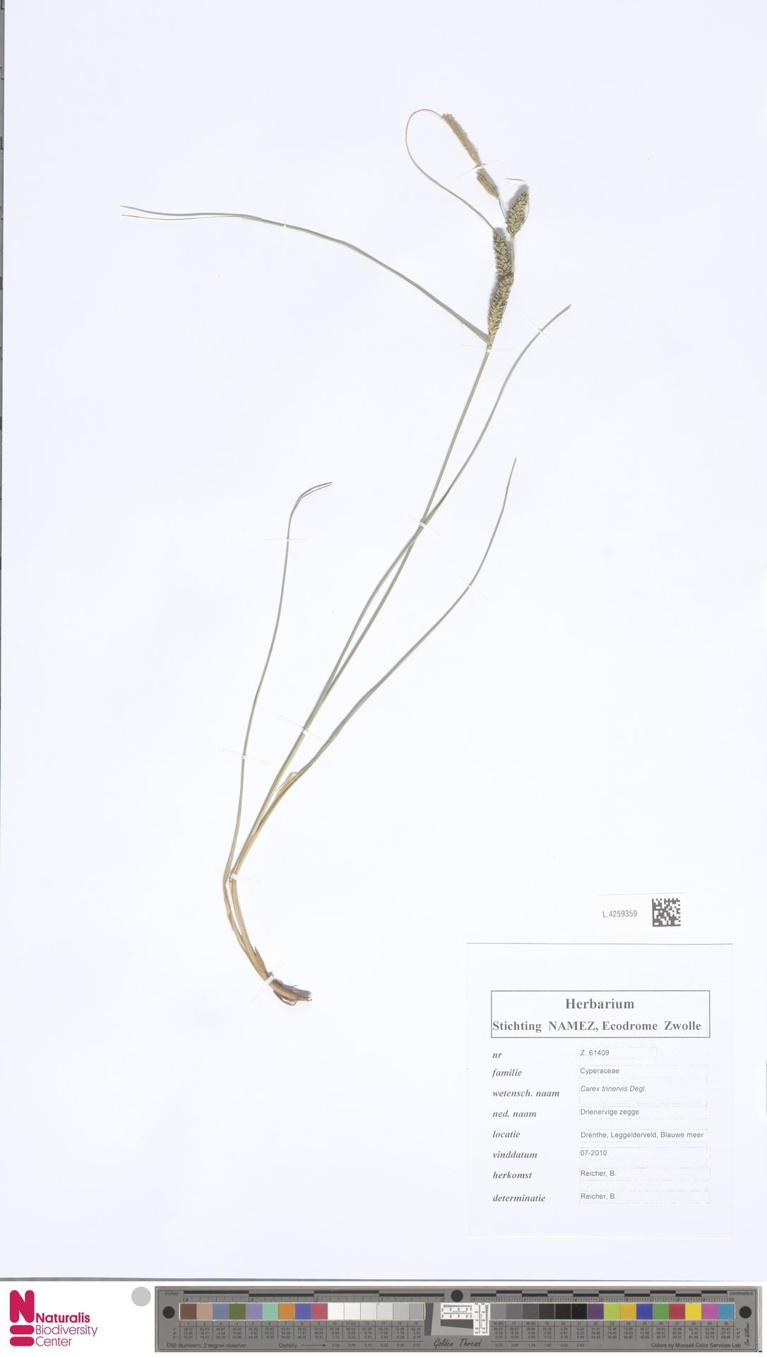 L.4259359 | Carex trinervis Degl.