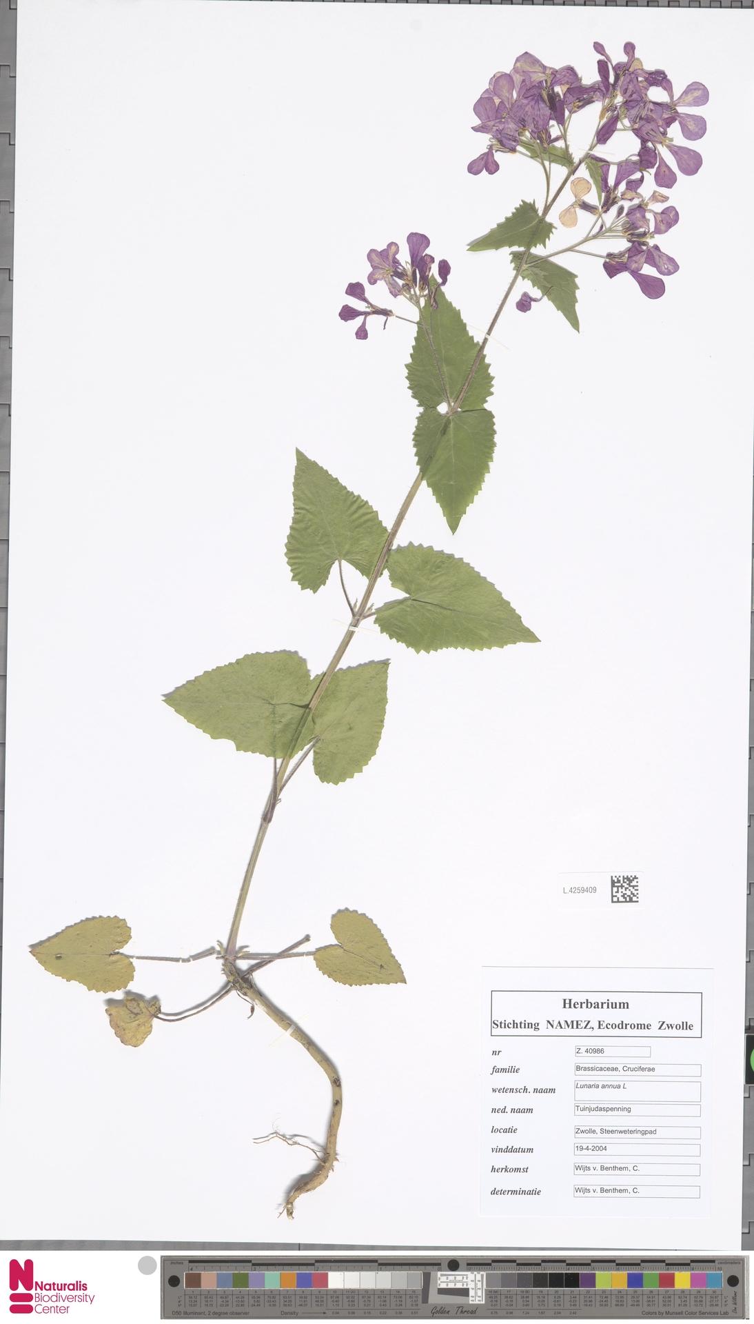 L.4259409   Lunaria annua L.