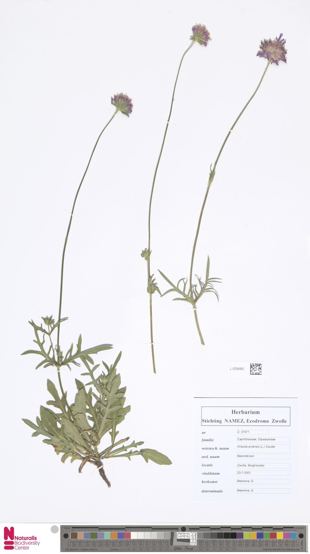 L.4259462 | Knautia arvensis (L.) Coult.