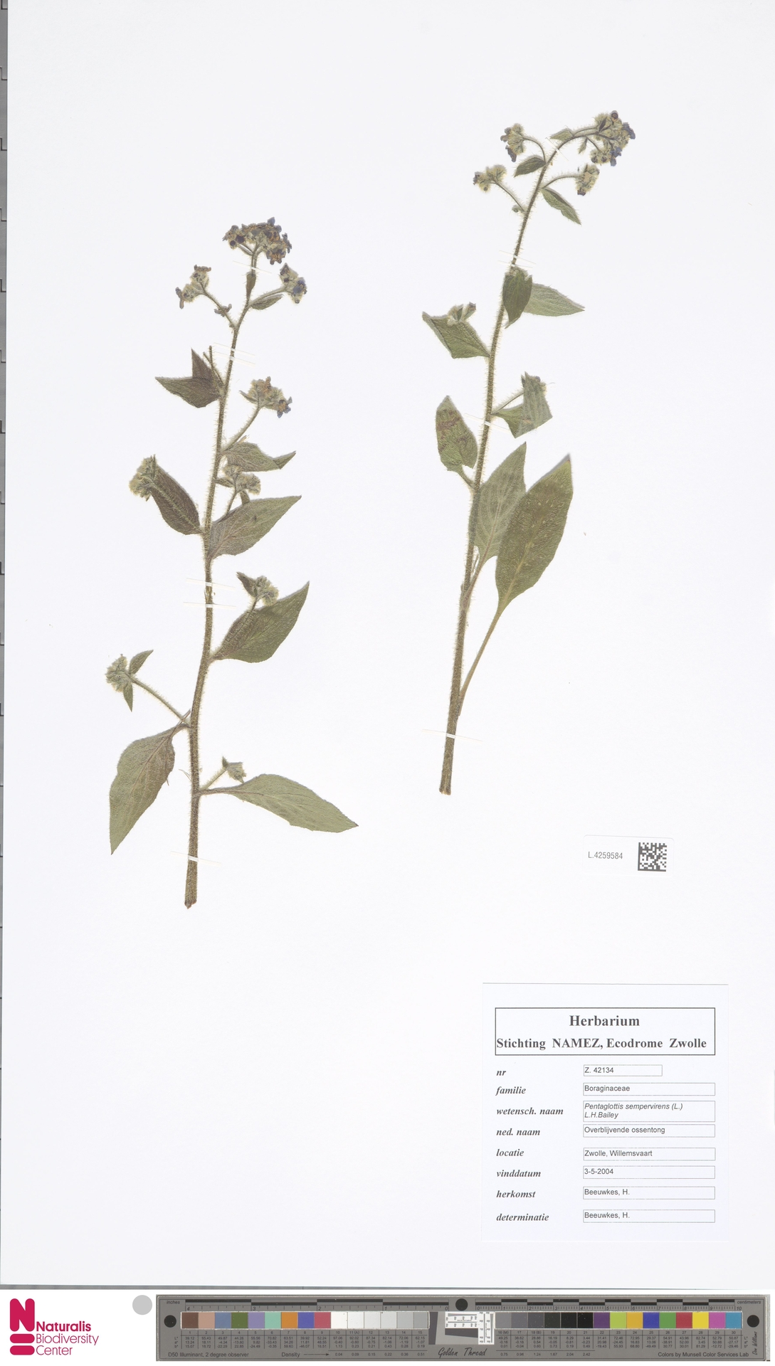 L.4259584 | Pentaglottis sempervirens (L.) L.H.Bailey