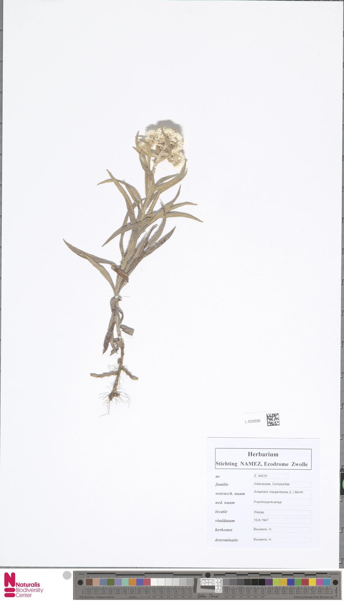 L.4259596 | Anaphalis margaritacea (L.) Benth. & Hook.f.