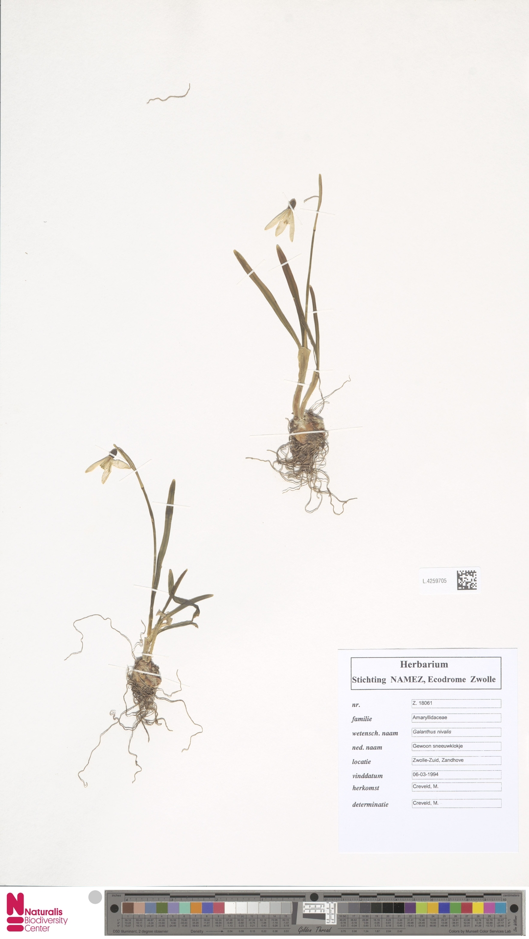 L.4259705 | Galanthus nivalis L.