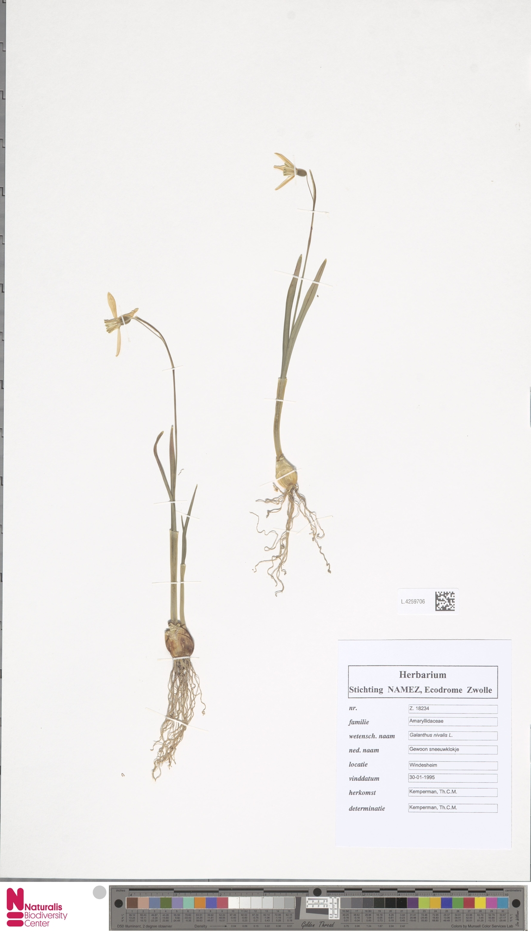 L.4259706 | Galanthus nivalis L.