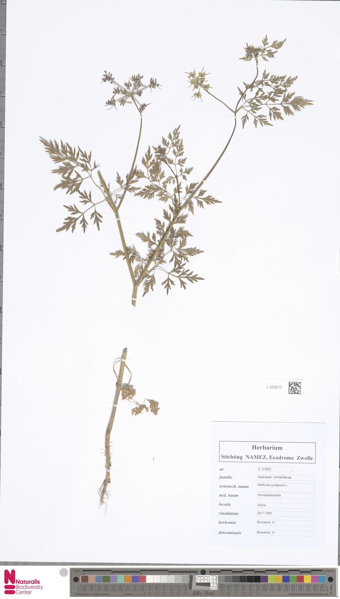 L.4259712 | Aethusa cynapium L.