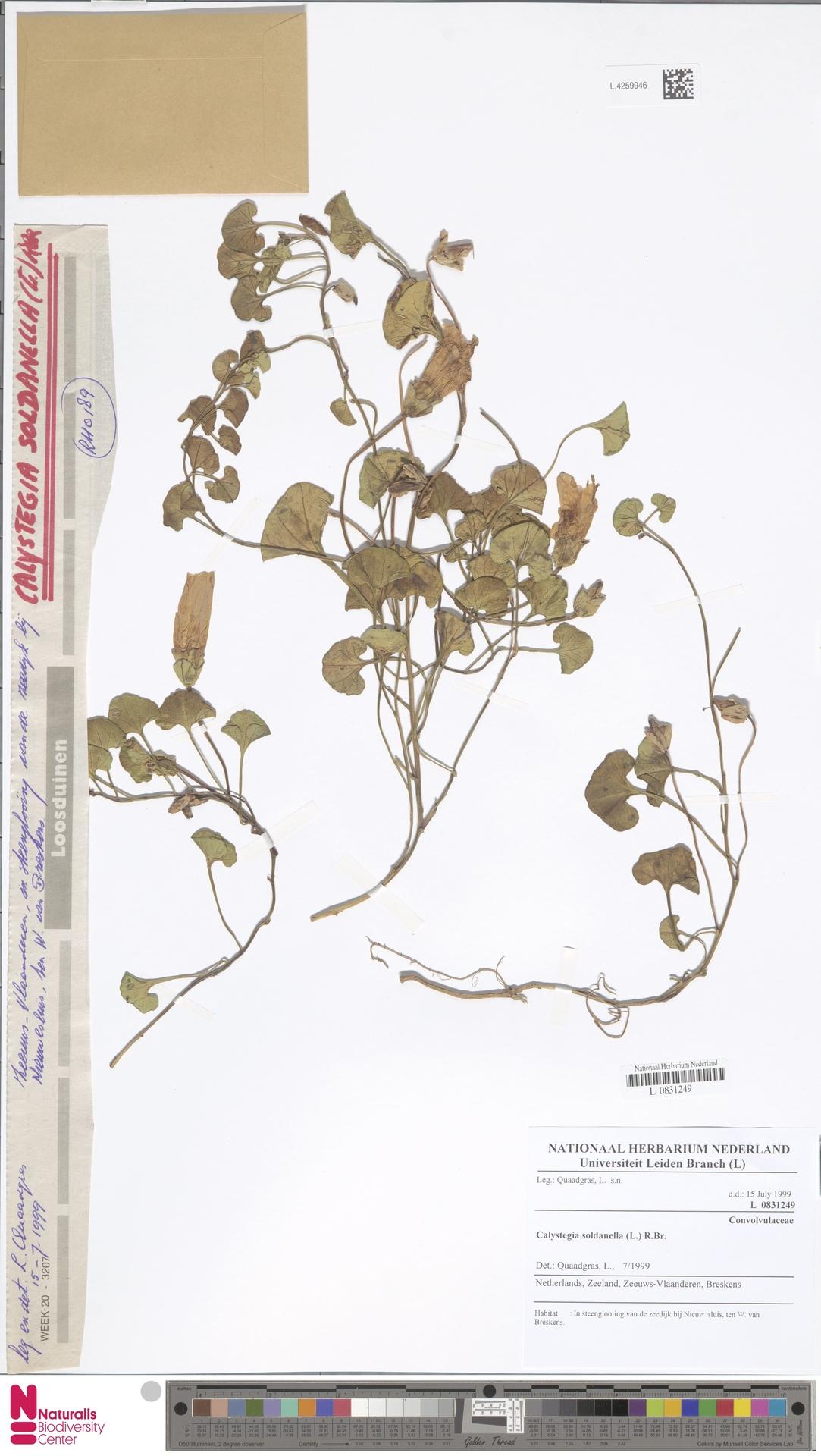 L.4259946 | Calystegia soldanella (L.) R.Br.