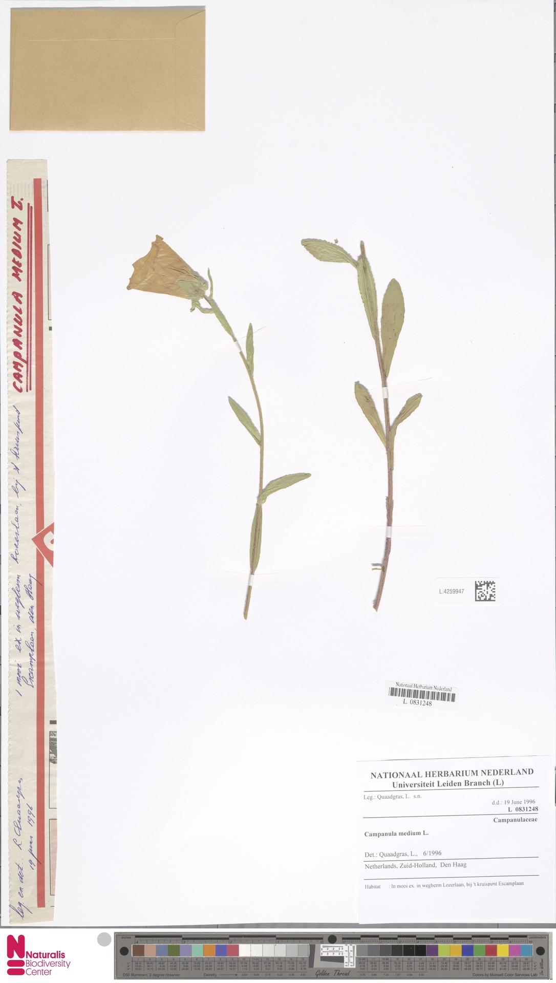 L.4259947 | Campanula medium L.