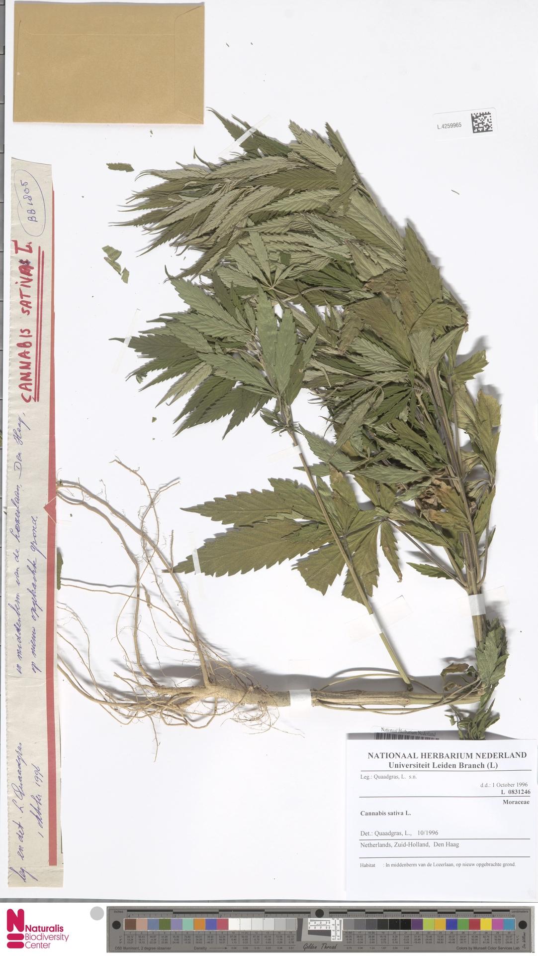 L.4259965 | Cannabis sativa L.