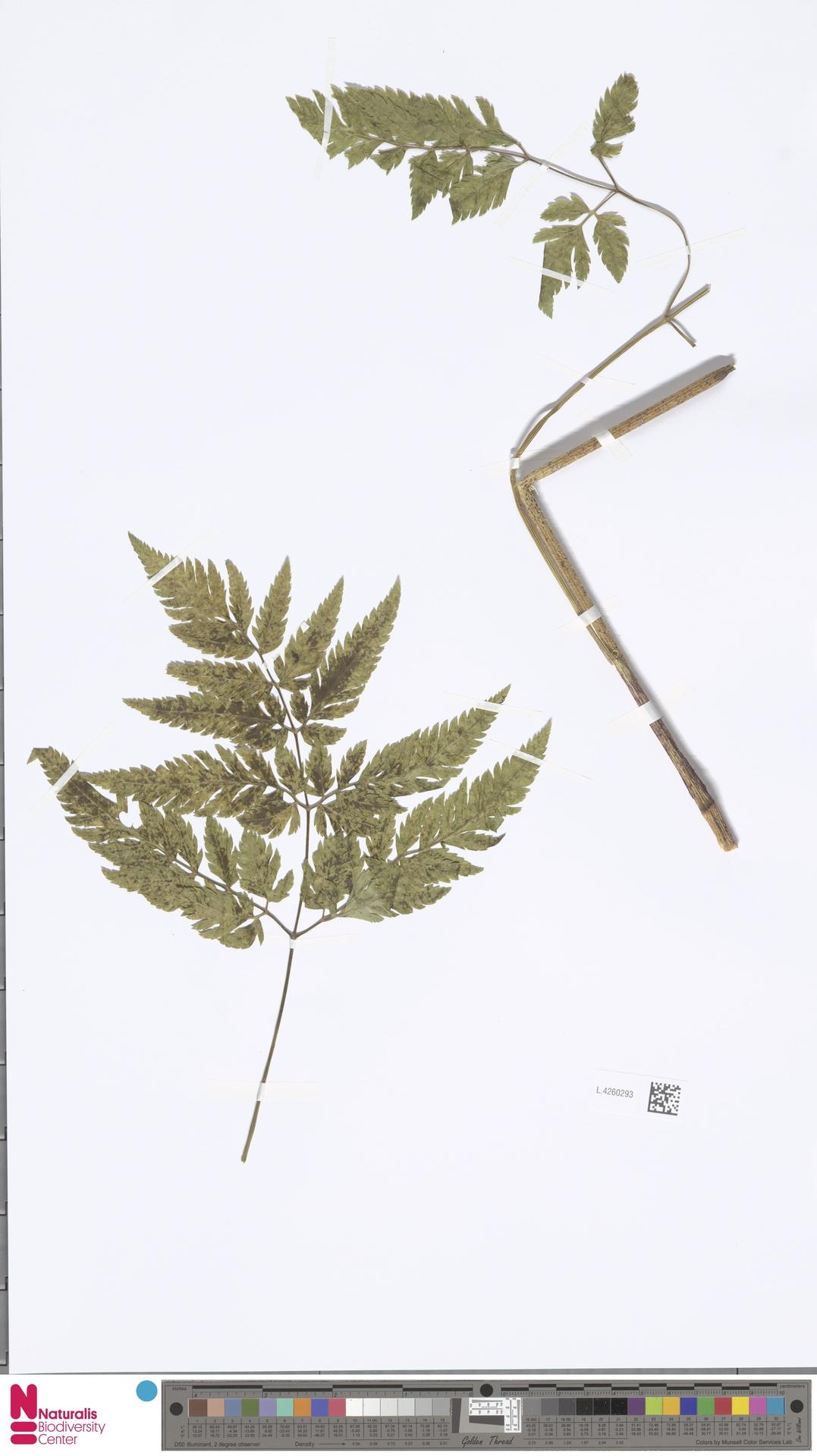 L.4260293 | Chaerophyllum aureum L.