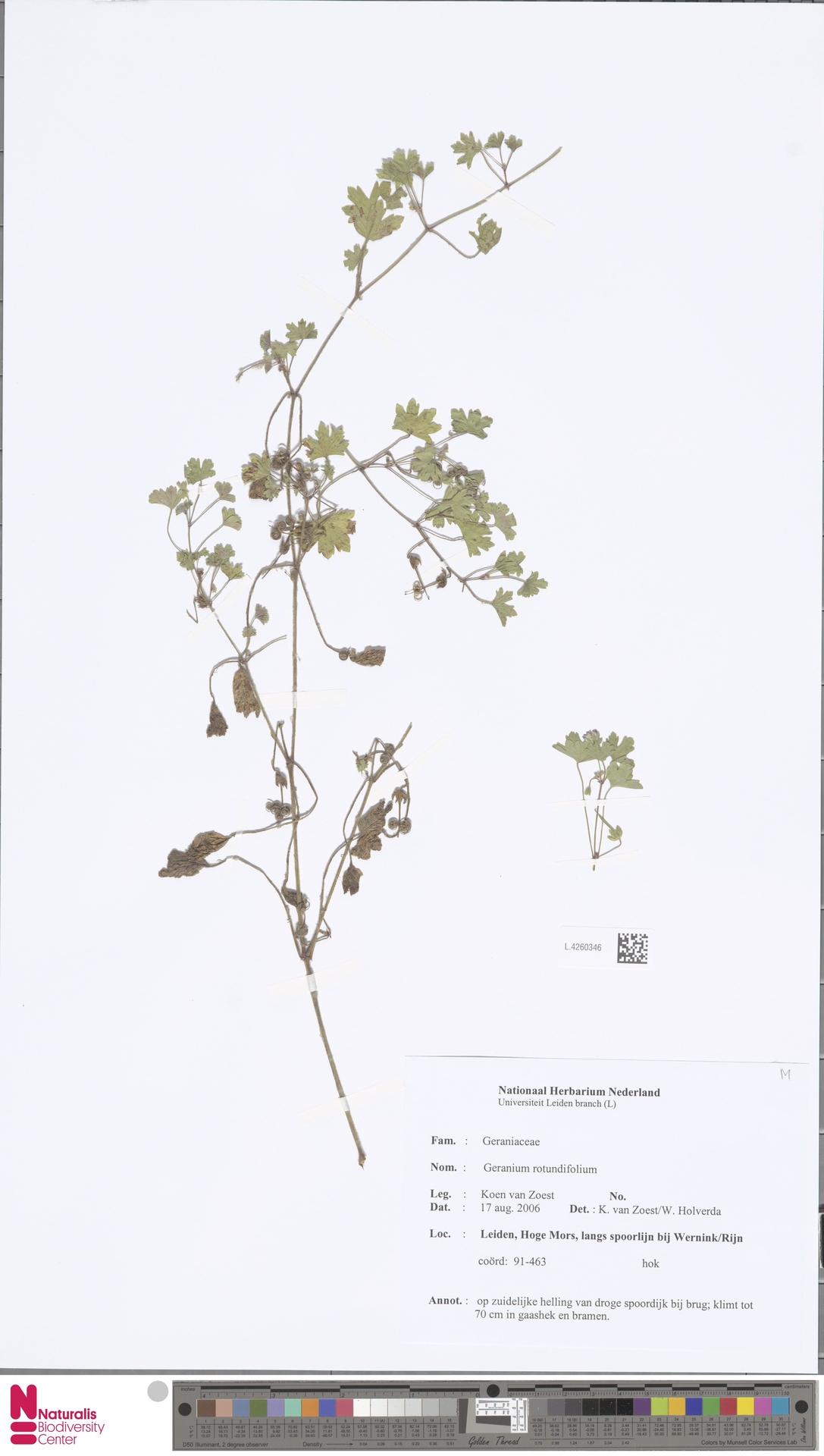 L.4260346 | Geranium rotundifolium L.
