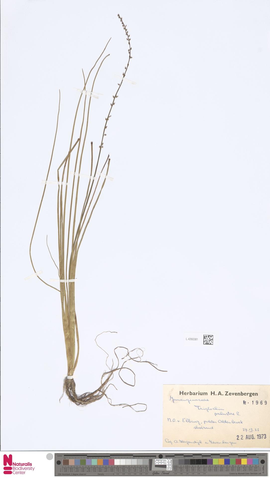 L.4260381 | Triglochin palustris L.