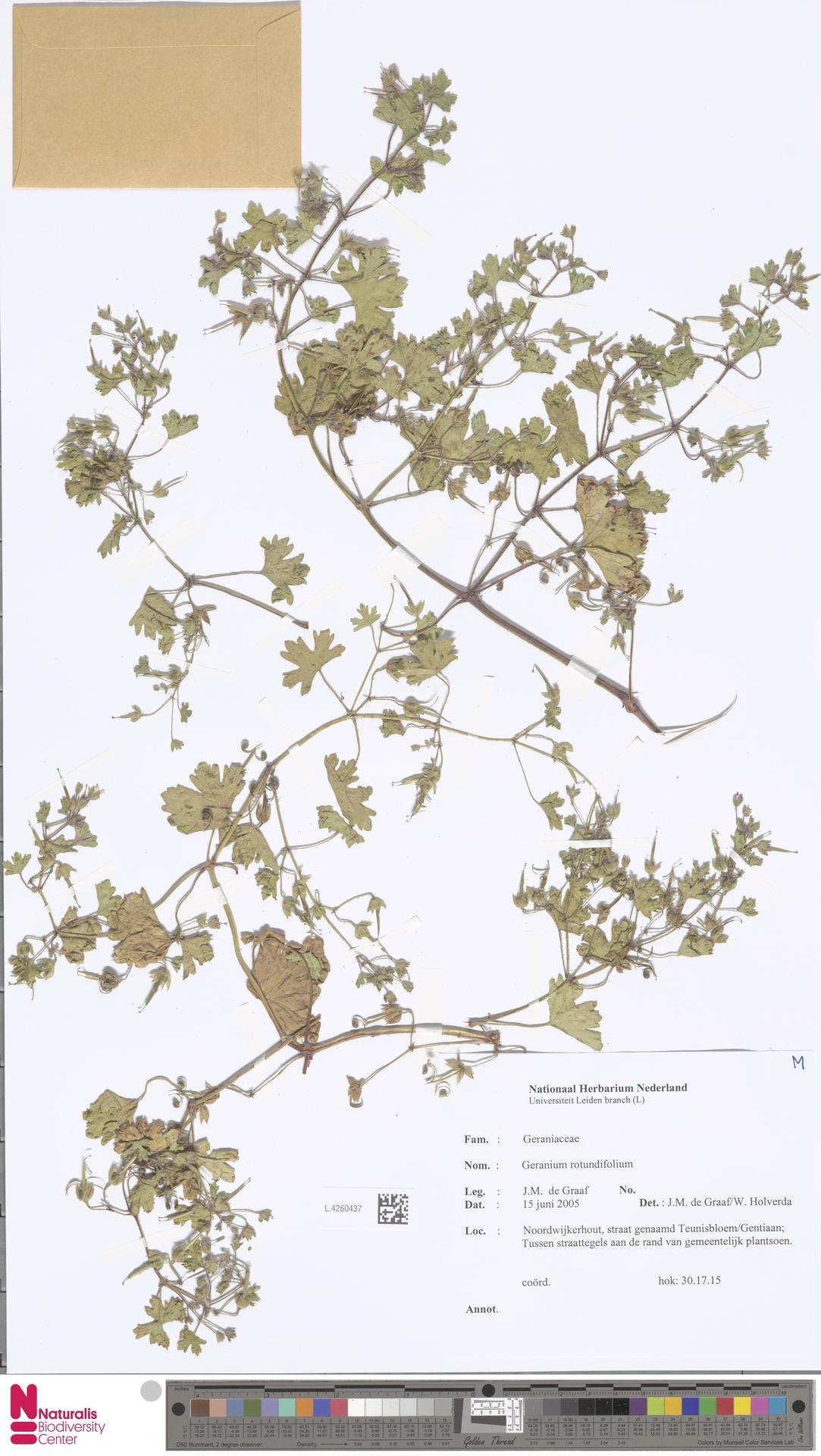 L.4260437 | Geranium rotundifolium L.