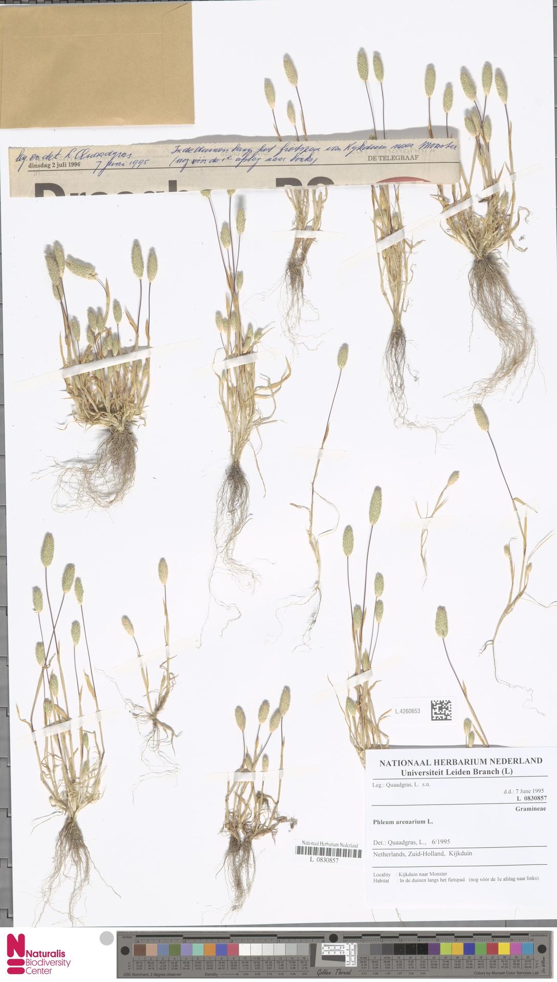 L.4260653 | Phleum arenarium L.