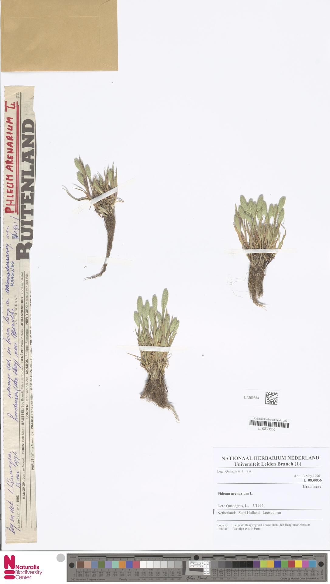 L.4260654   Phleum arenarium L.