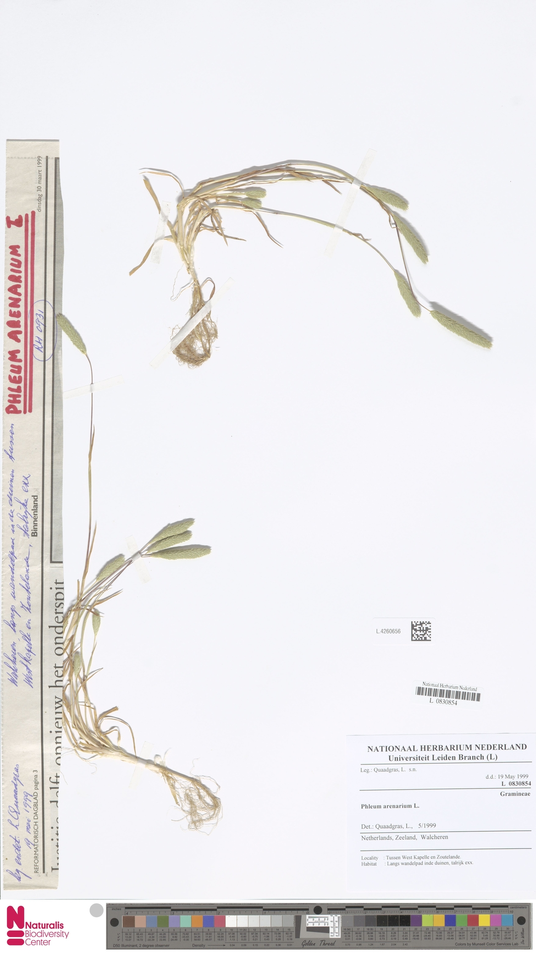 L.4260656 | Phleum arenarium L.