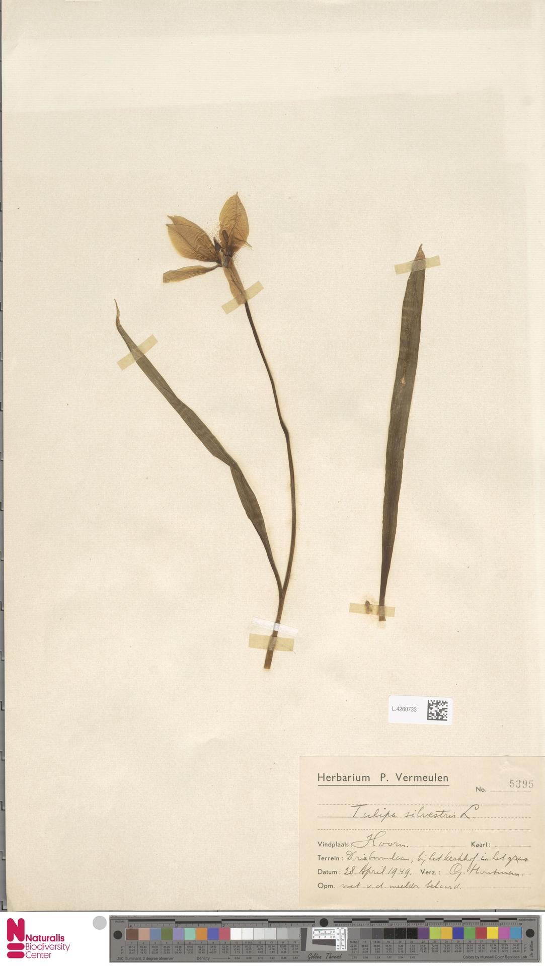 L.4260733 | Tulipa sylvestris L.