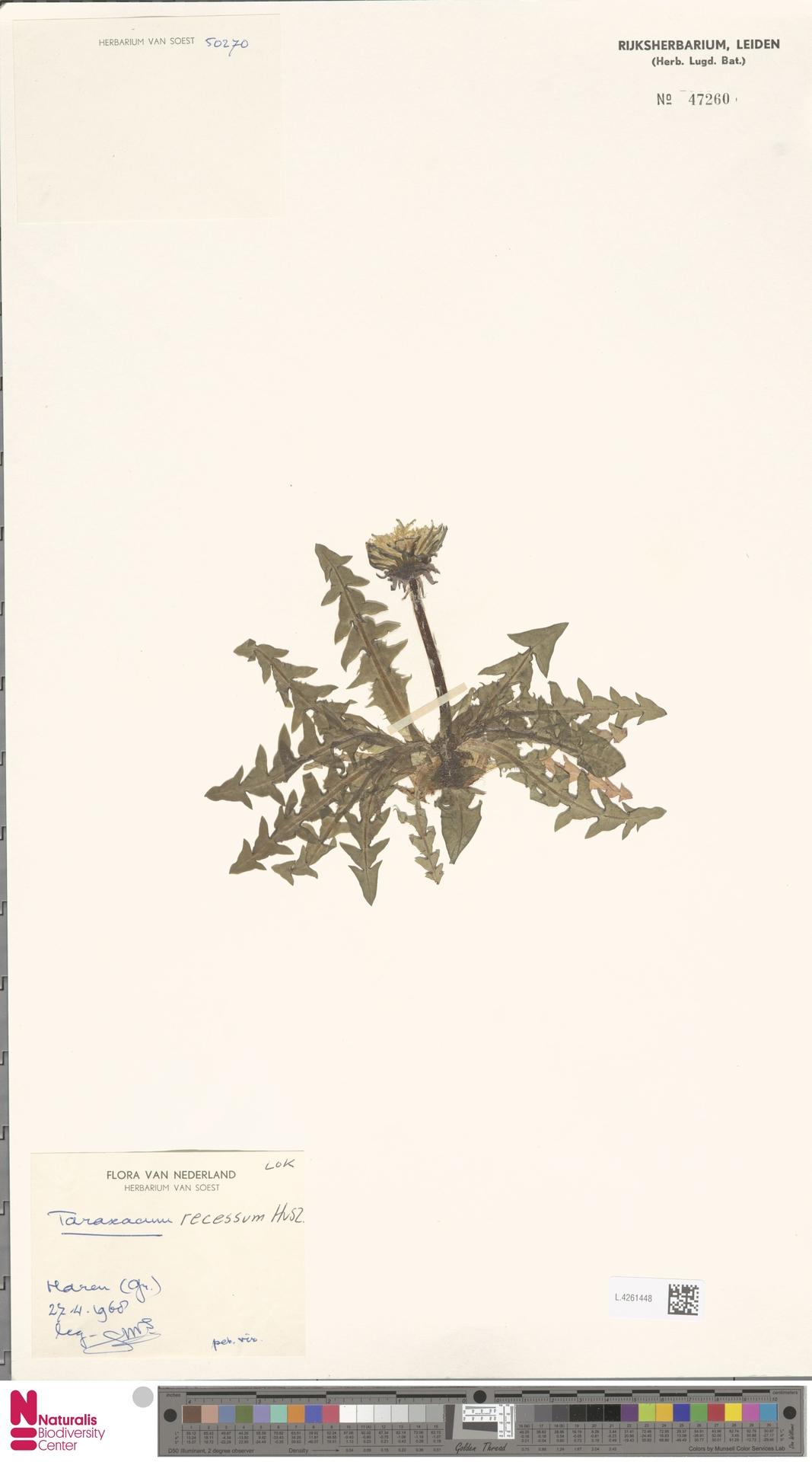 L.4261448 | Taraxacum recessum Hagend., Soest & Zevenb.