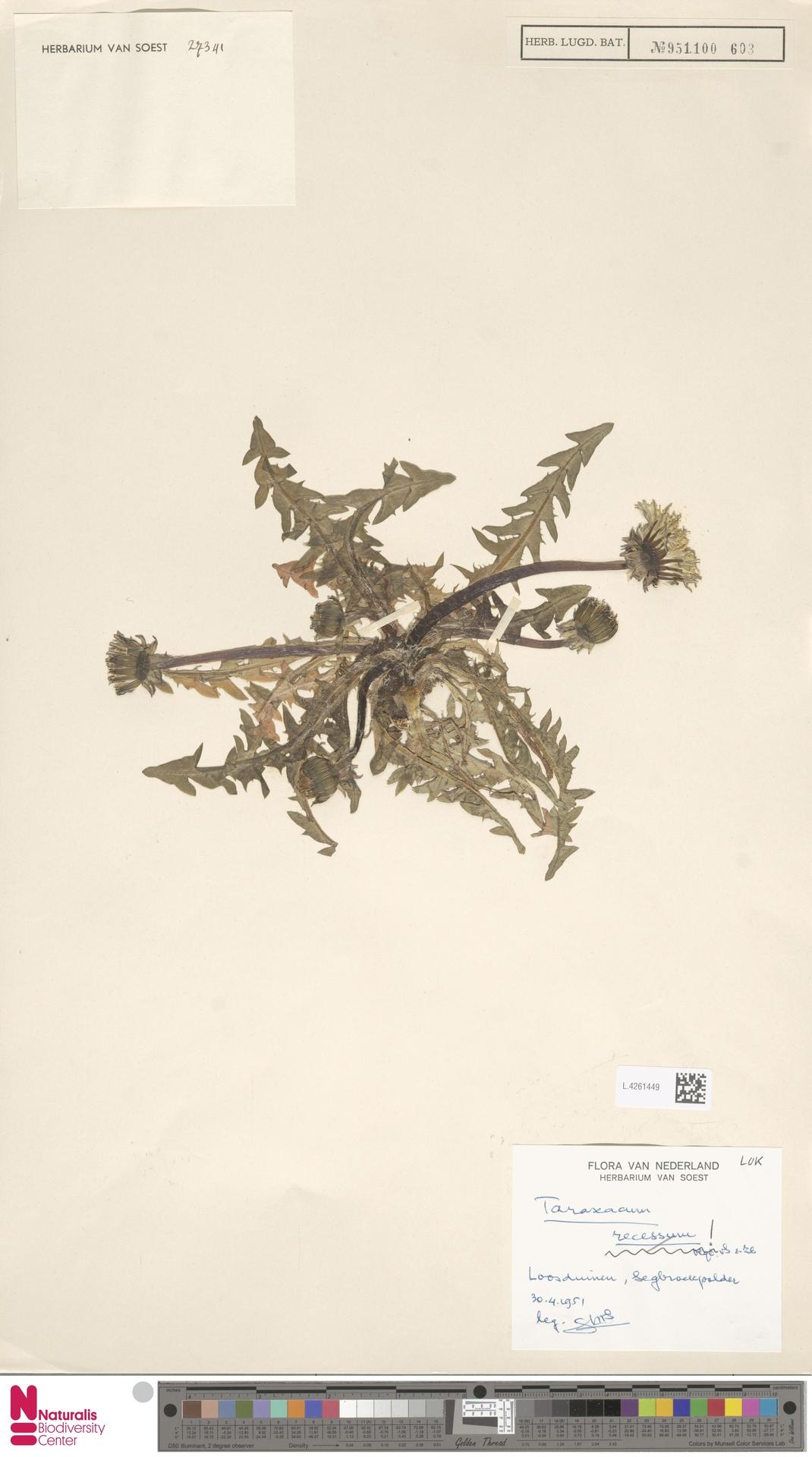 L.4261449   Taraxacum recessum Hagend., Soest & Zevenb.