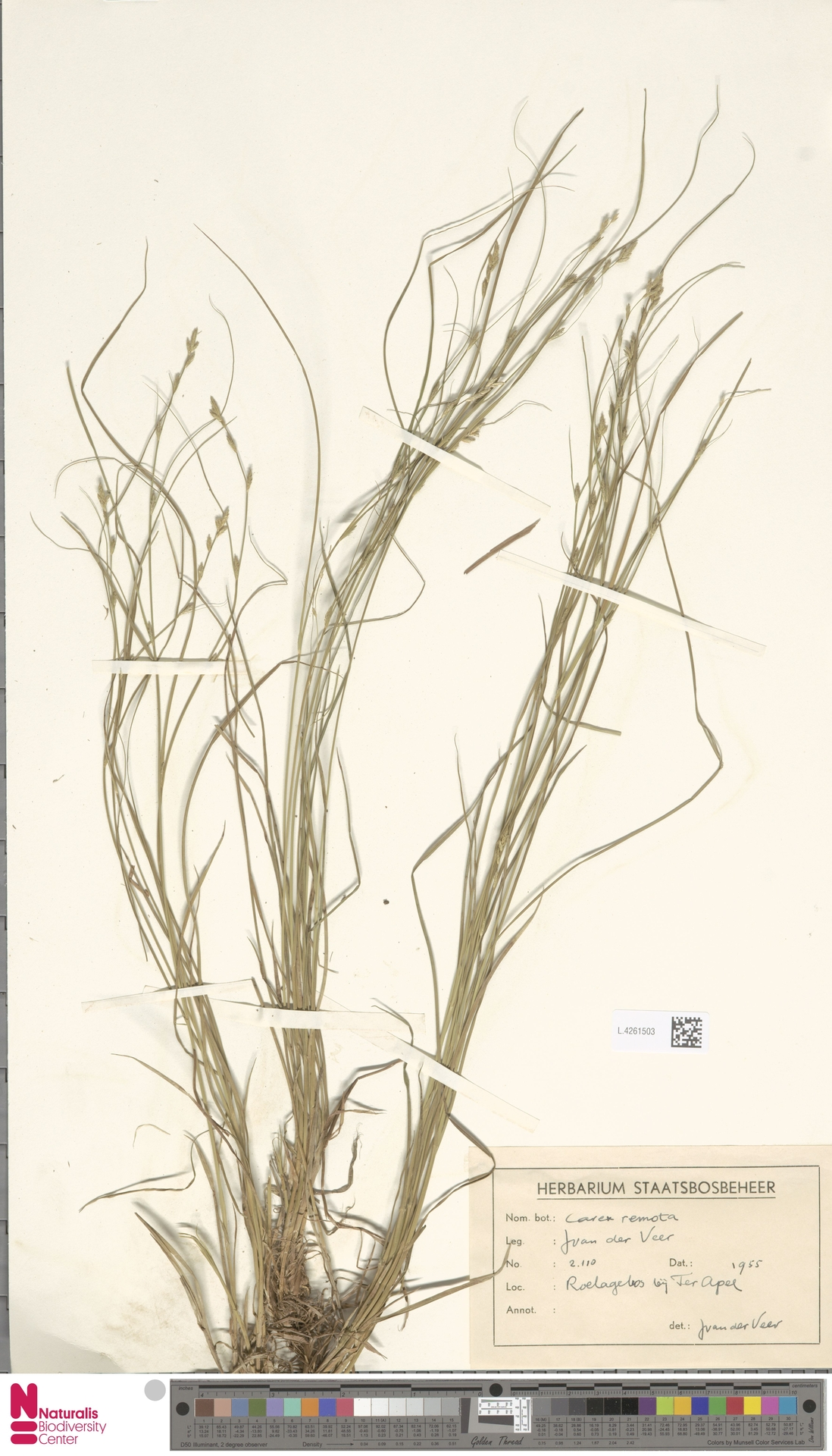 L.4261503 | Carex remota L.