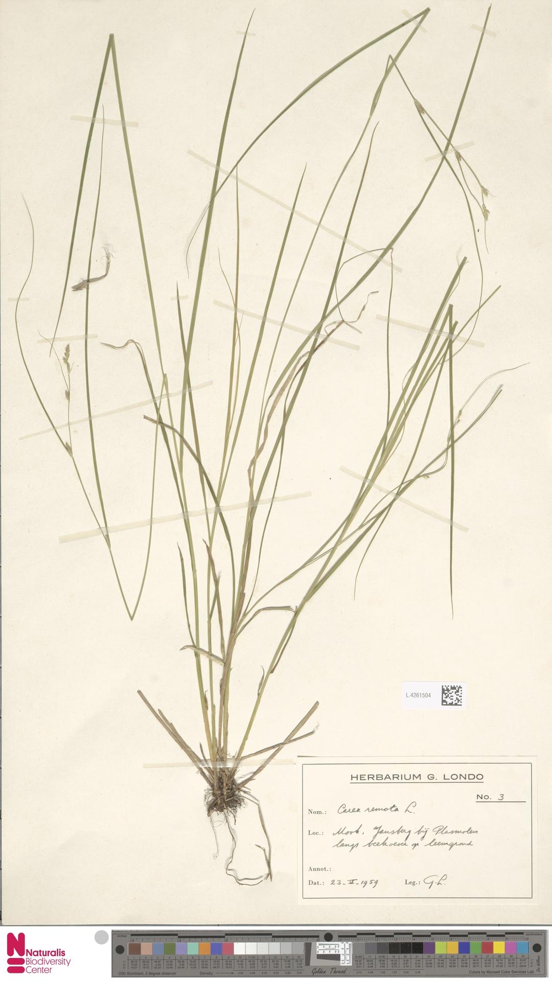 L.4261504 | Carex remota L.
