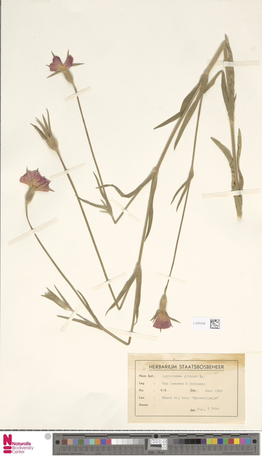 L.4261548 | Agrostemma githago L.