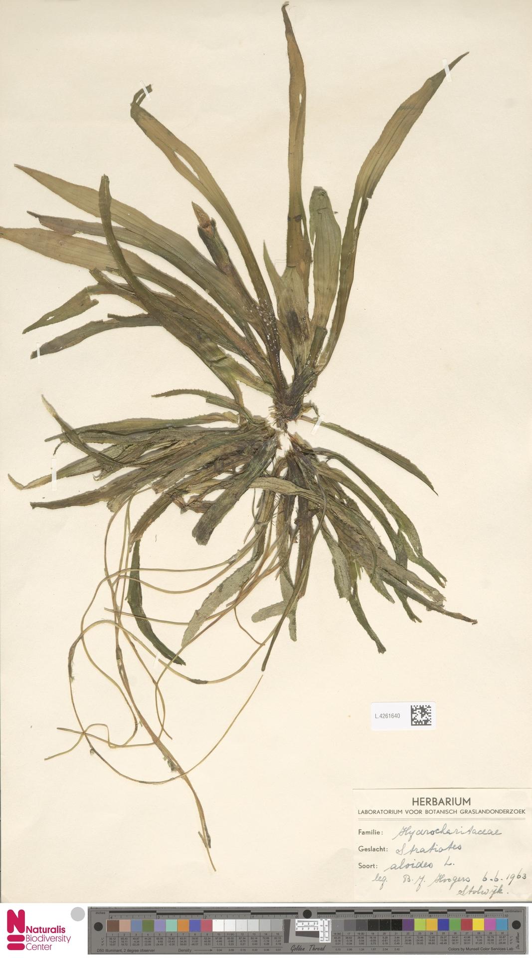 L.4261640   Stratiotes aloides L.