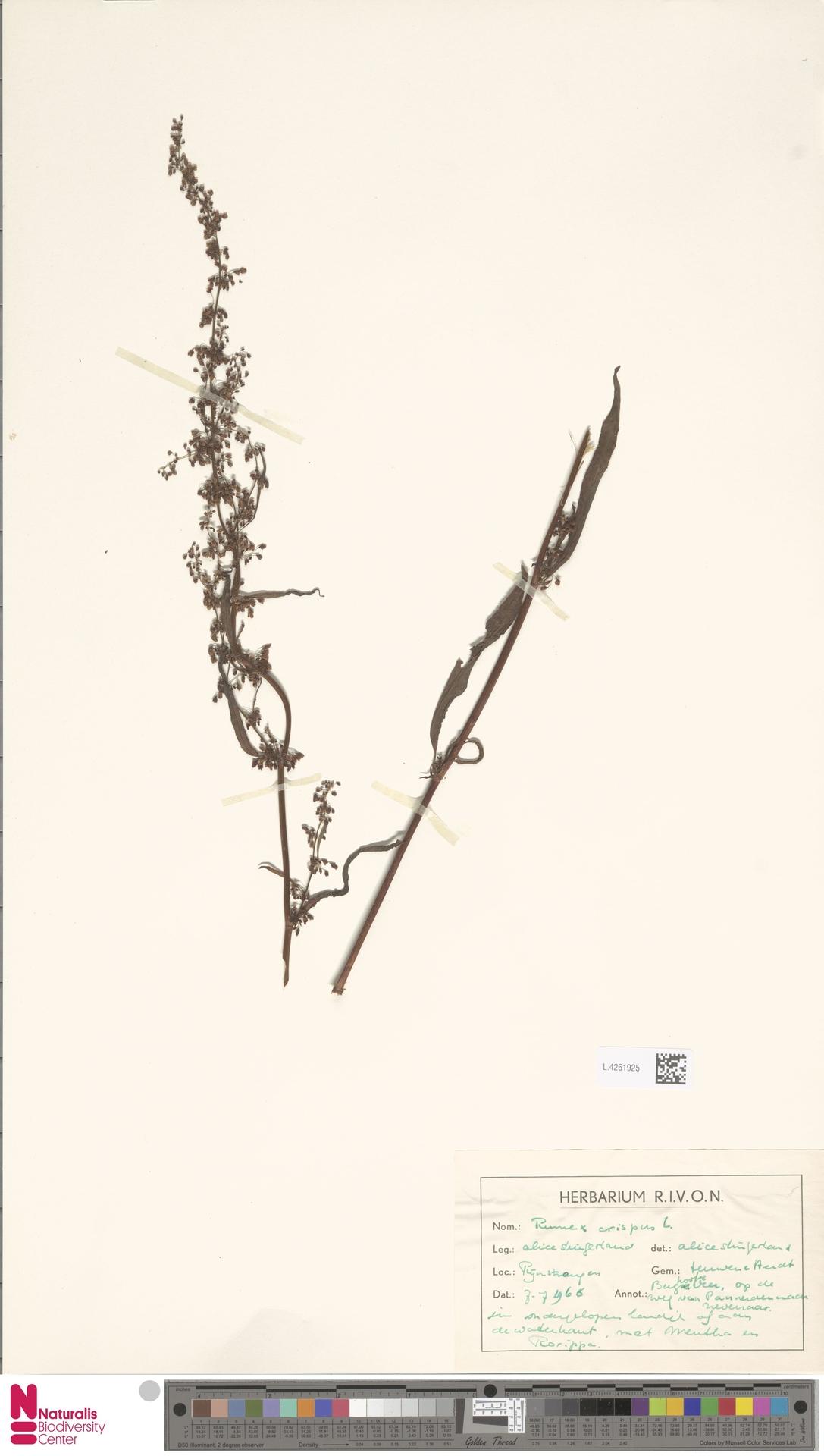 L.4261925 | Rumex crispus L.