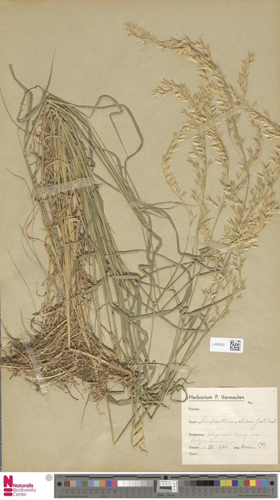 L.4262032 | Arrhenatherum elatius (L.) P.Beauv. ex J.Presl & C.Presl