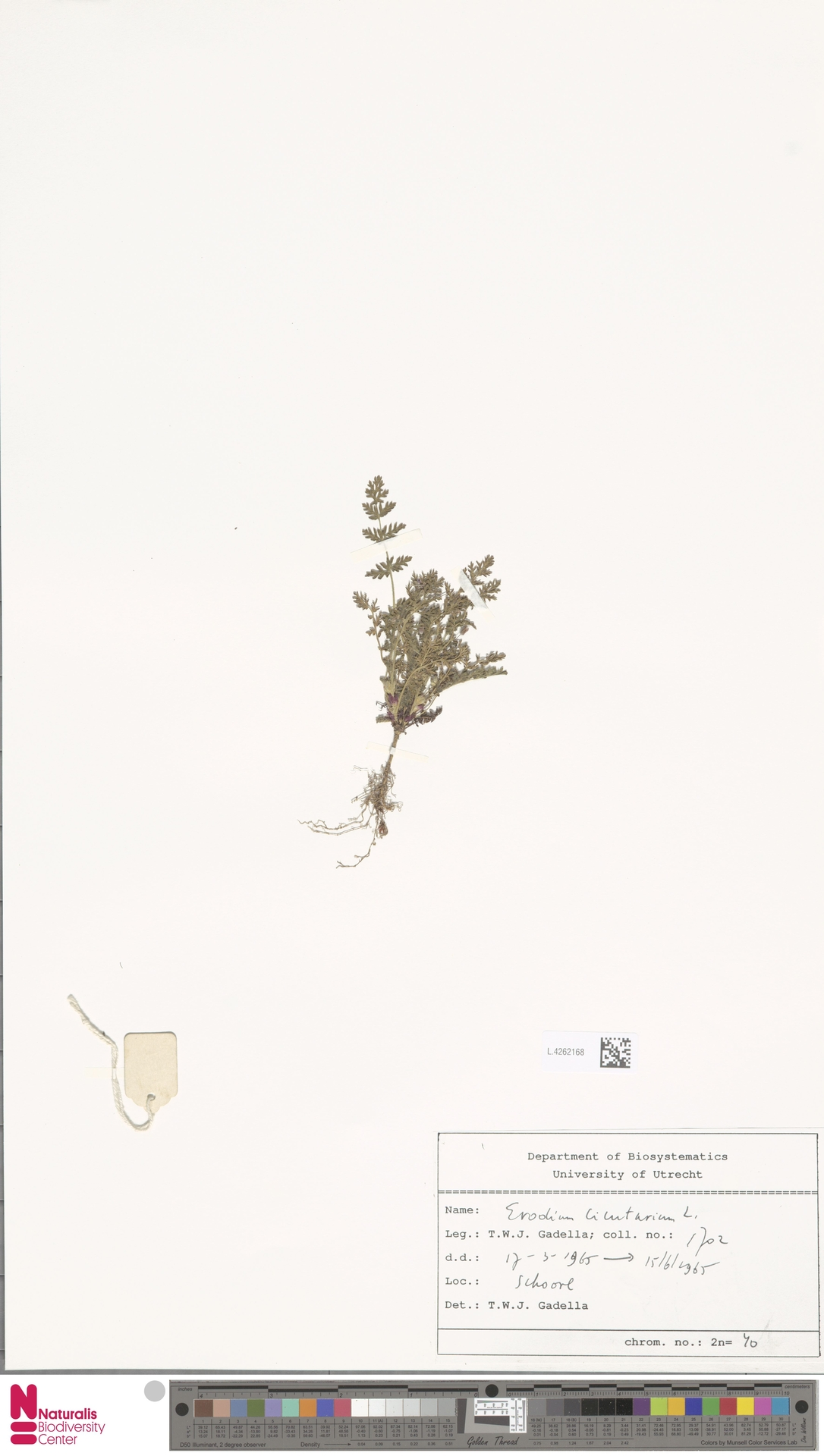 L.4262168 | Erodium cicutarium (L.) L'Hér.