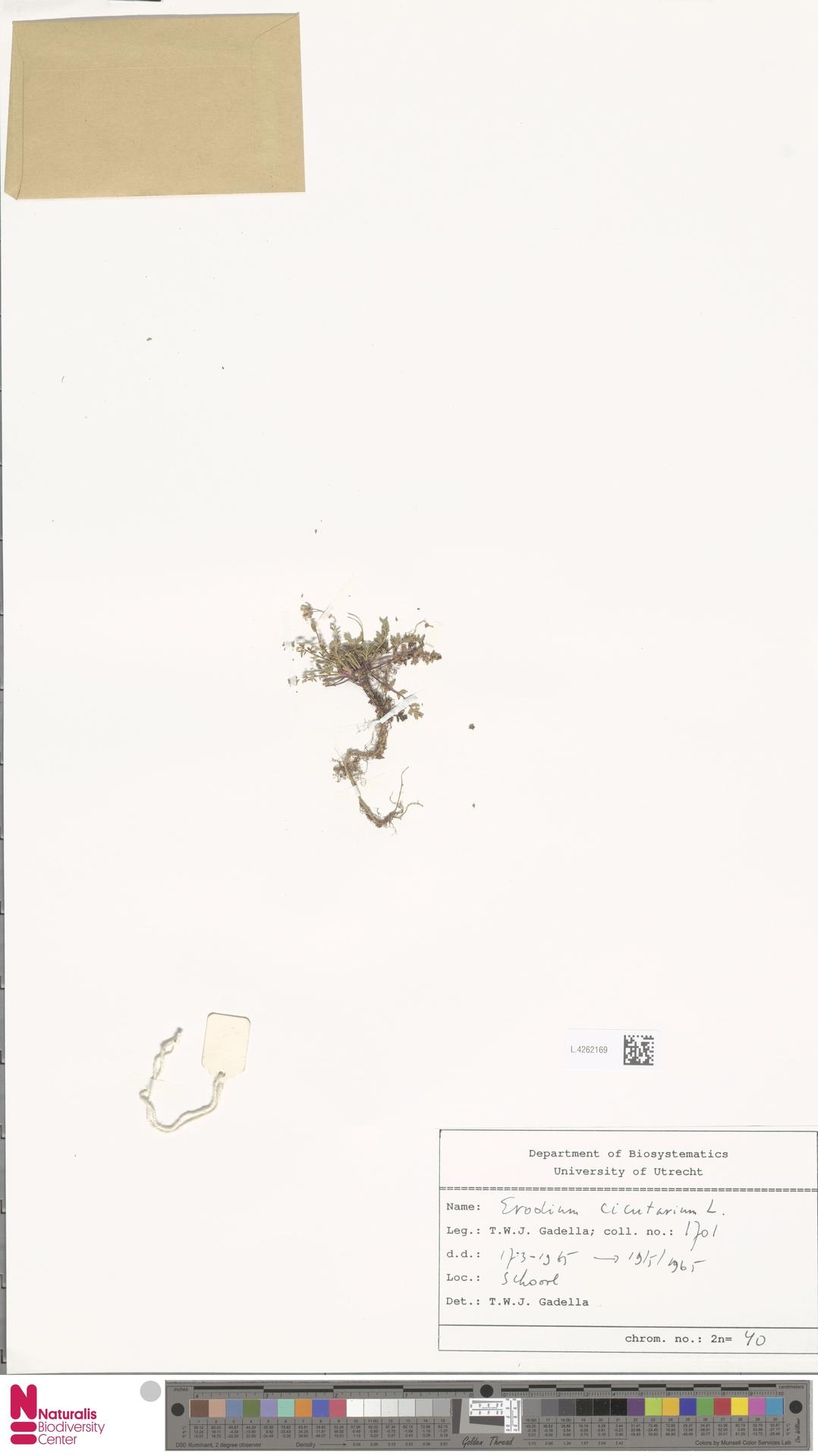 L.4262169 | Erodium cicutarium (L.) L'Hér.