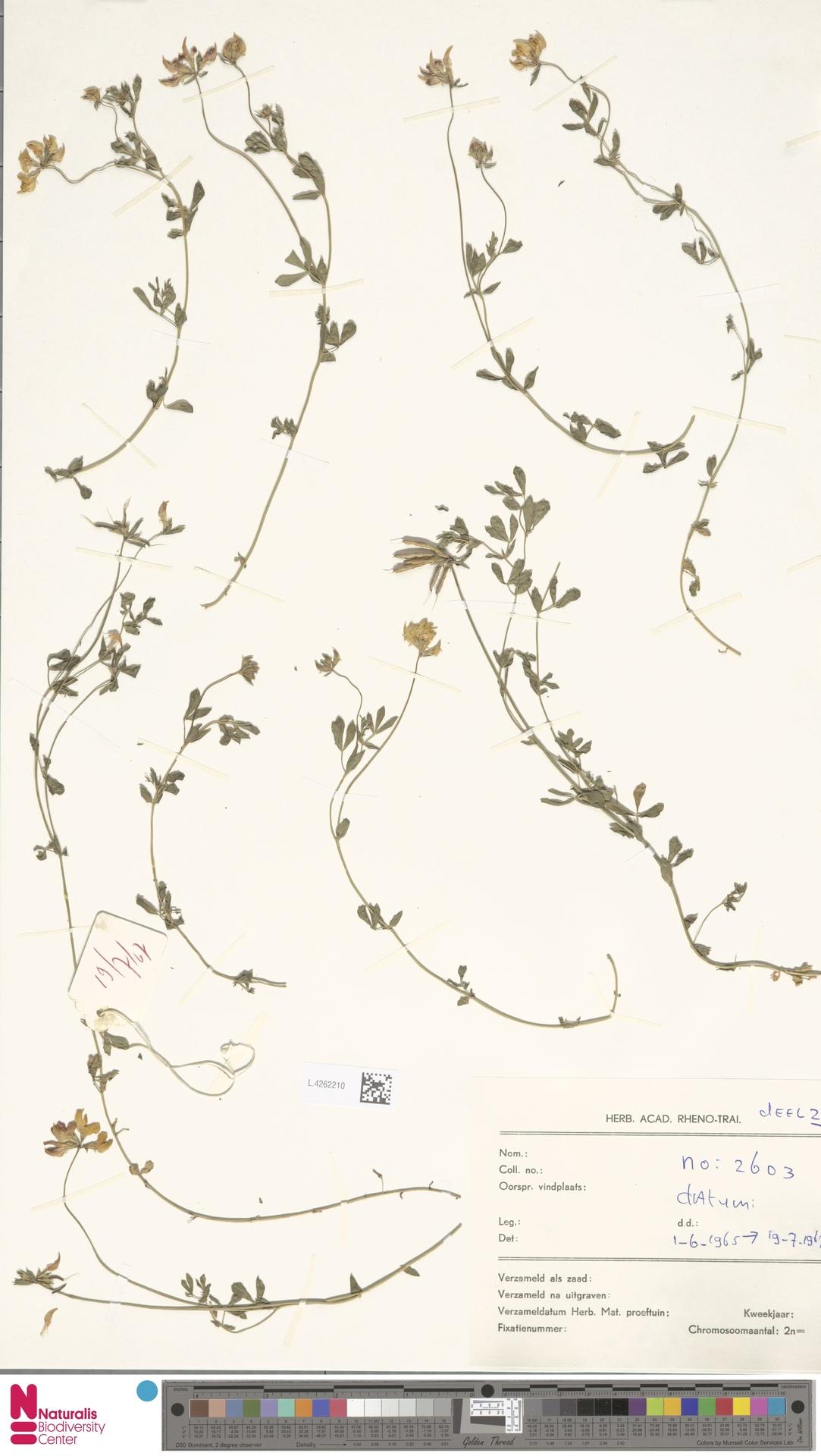L.4262210 | Lotus corniculatus L.