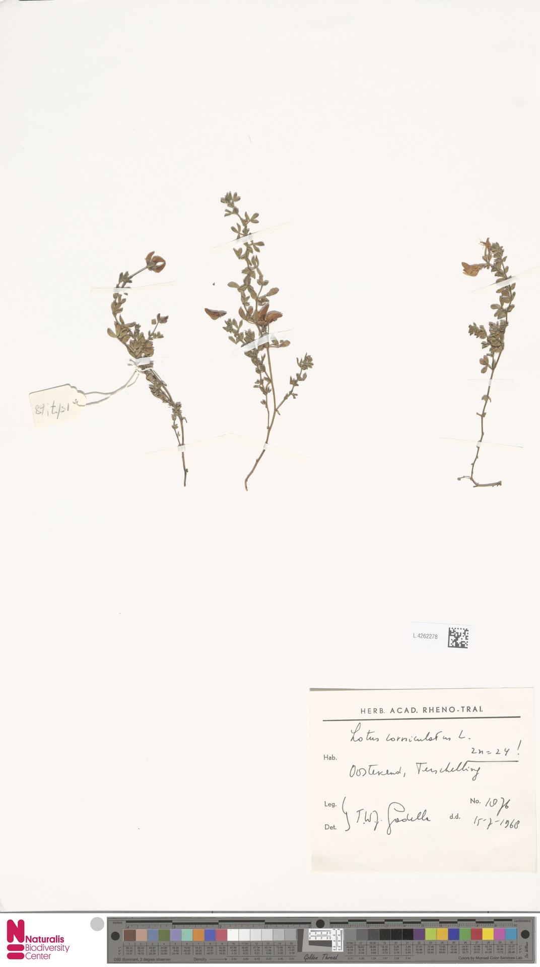 L.4262278 | Lotus corniculatus L.