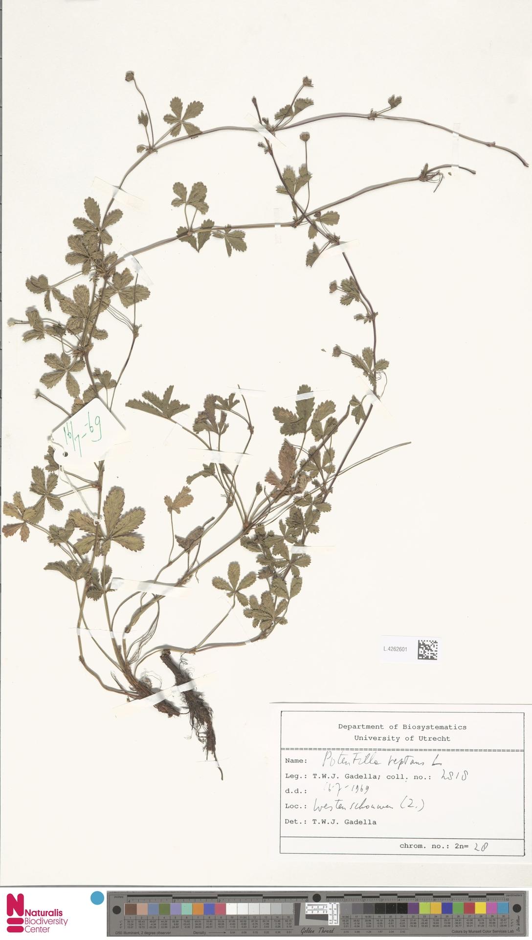 L.4262601 | Potentilla reptans L.
