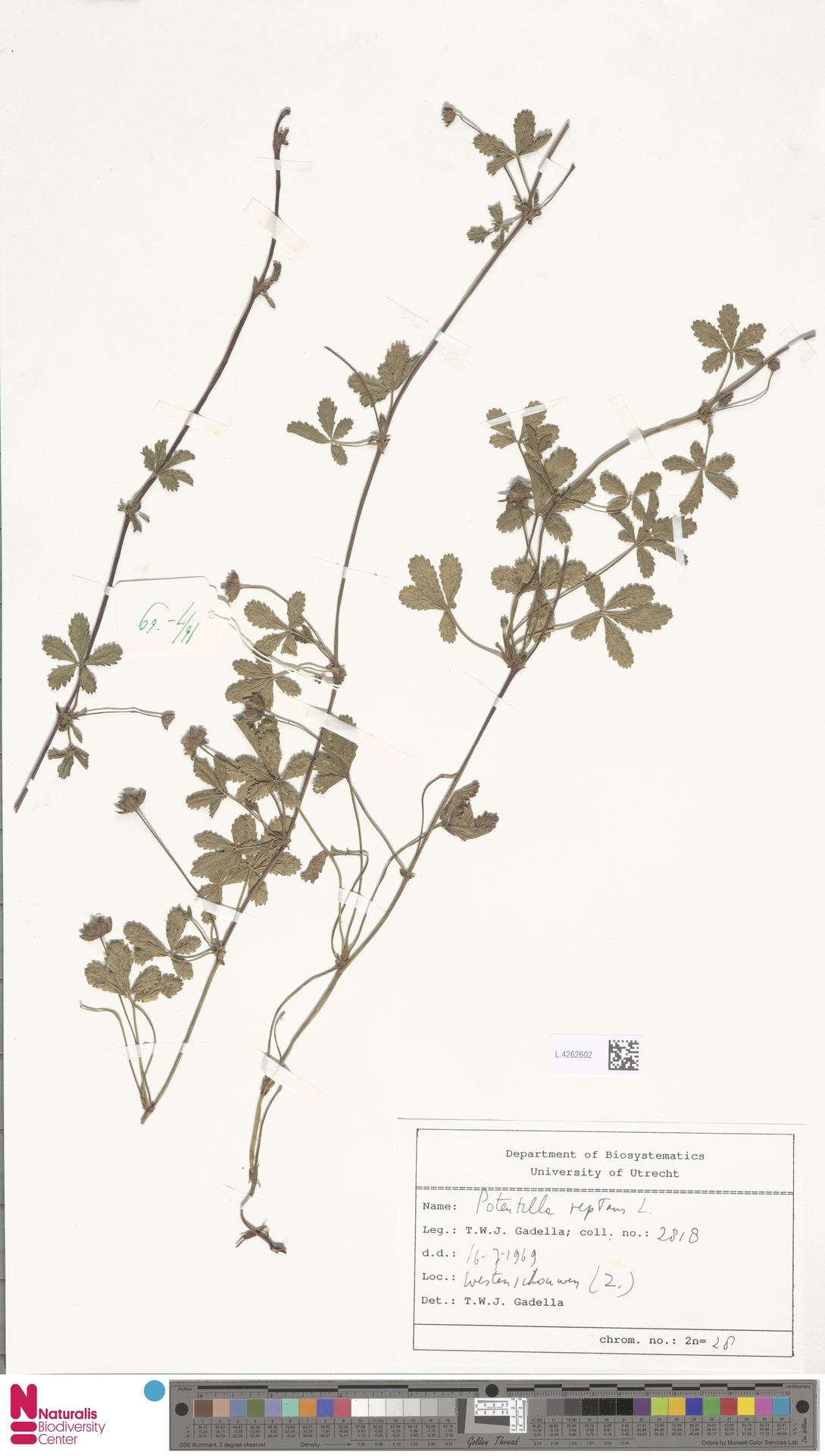 L.4262602 | Potentilla reptans L.