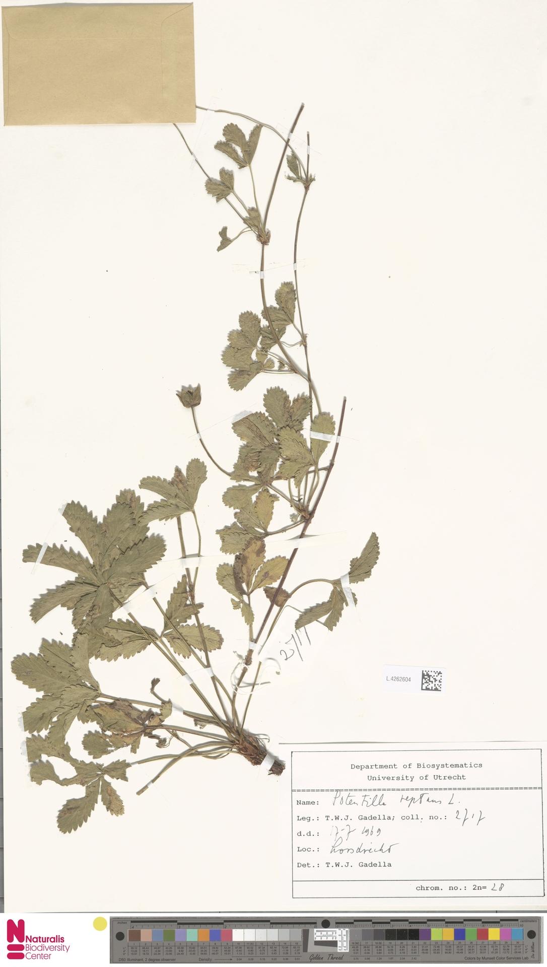 L.4262604 | Potentilla reptans L.